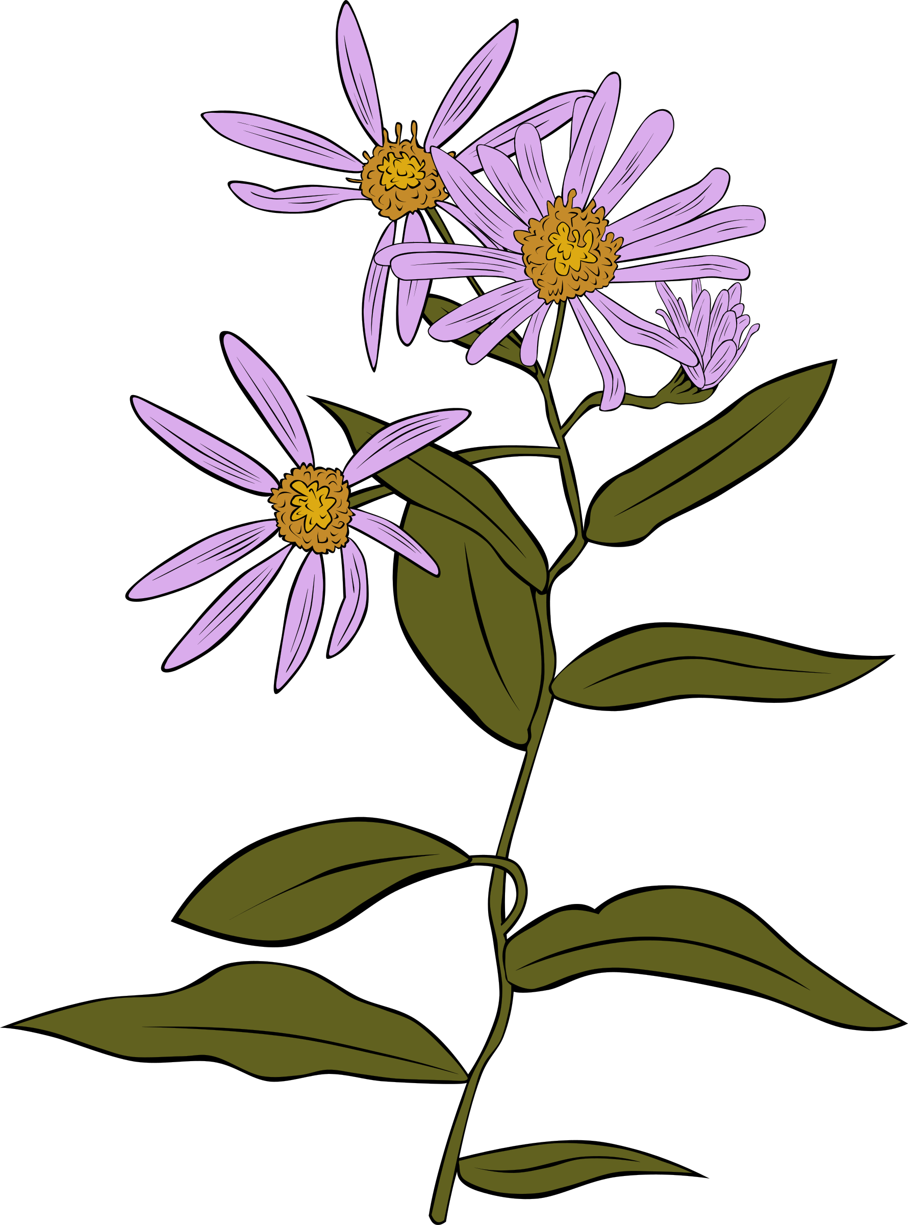 Aster Conspicuus by Gerald_G