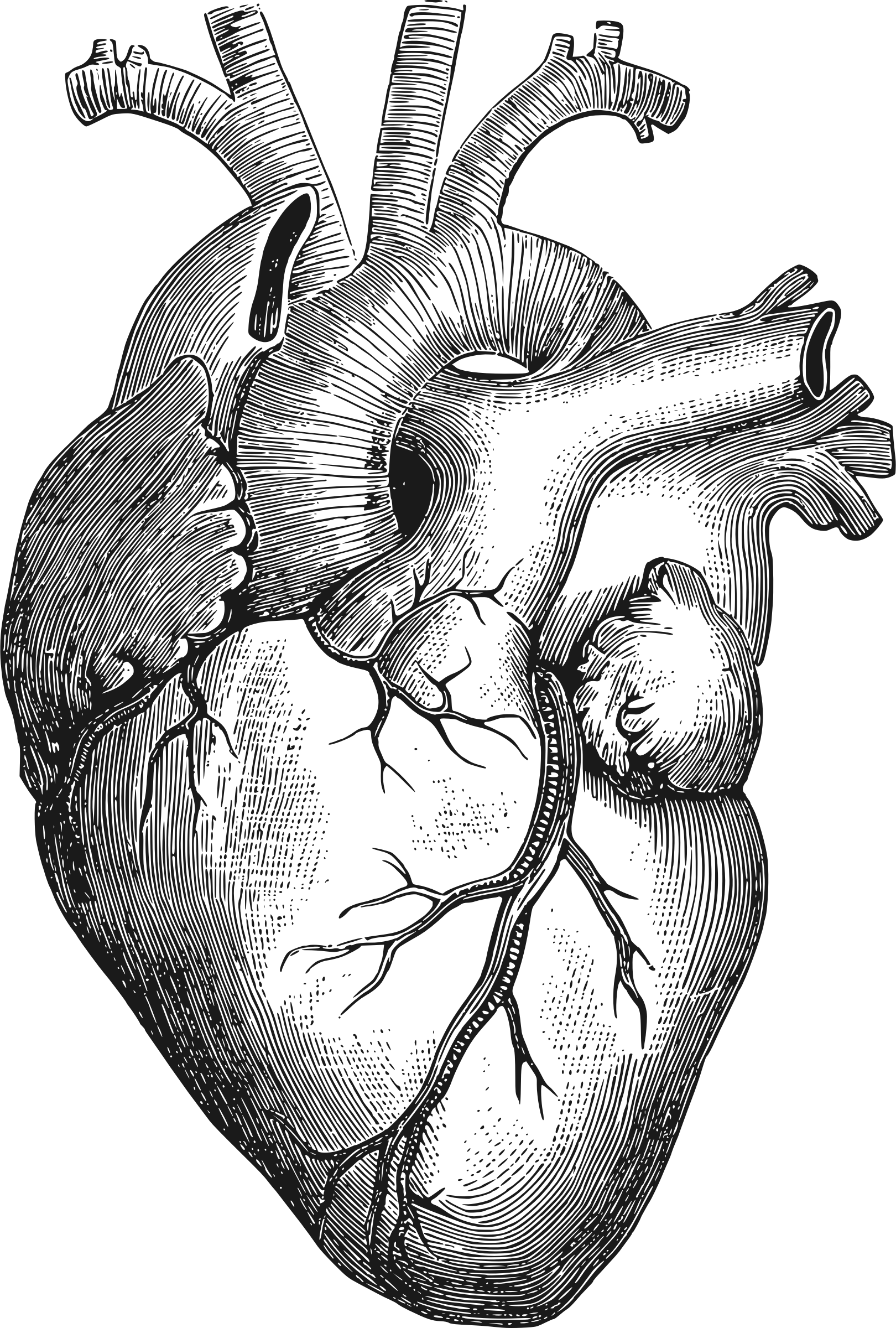 clipart - anatomical heart, Human body