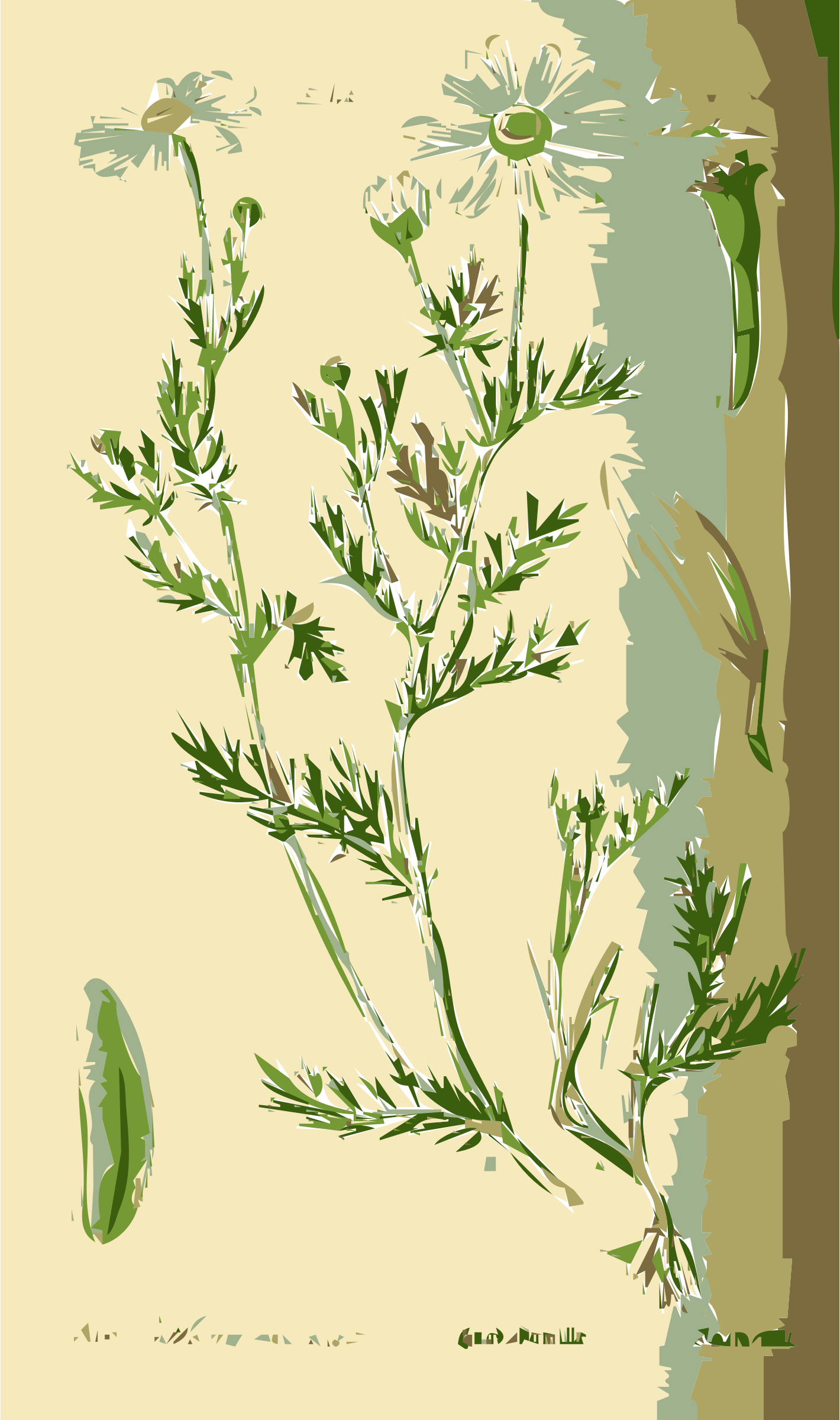 Illustration of the Anthemis Flower by rejon