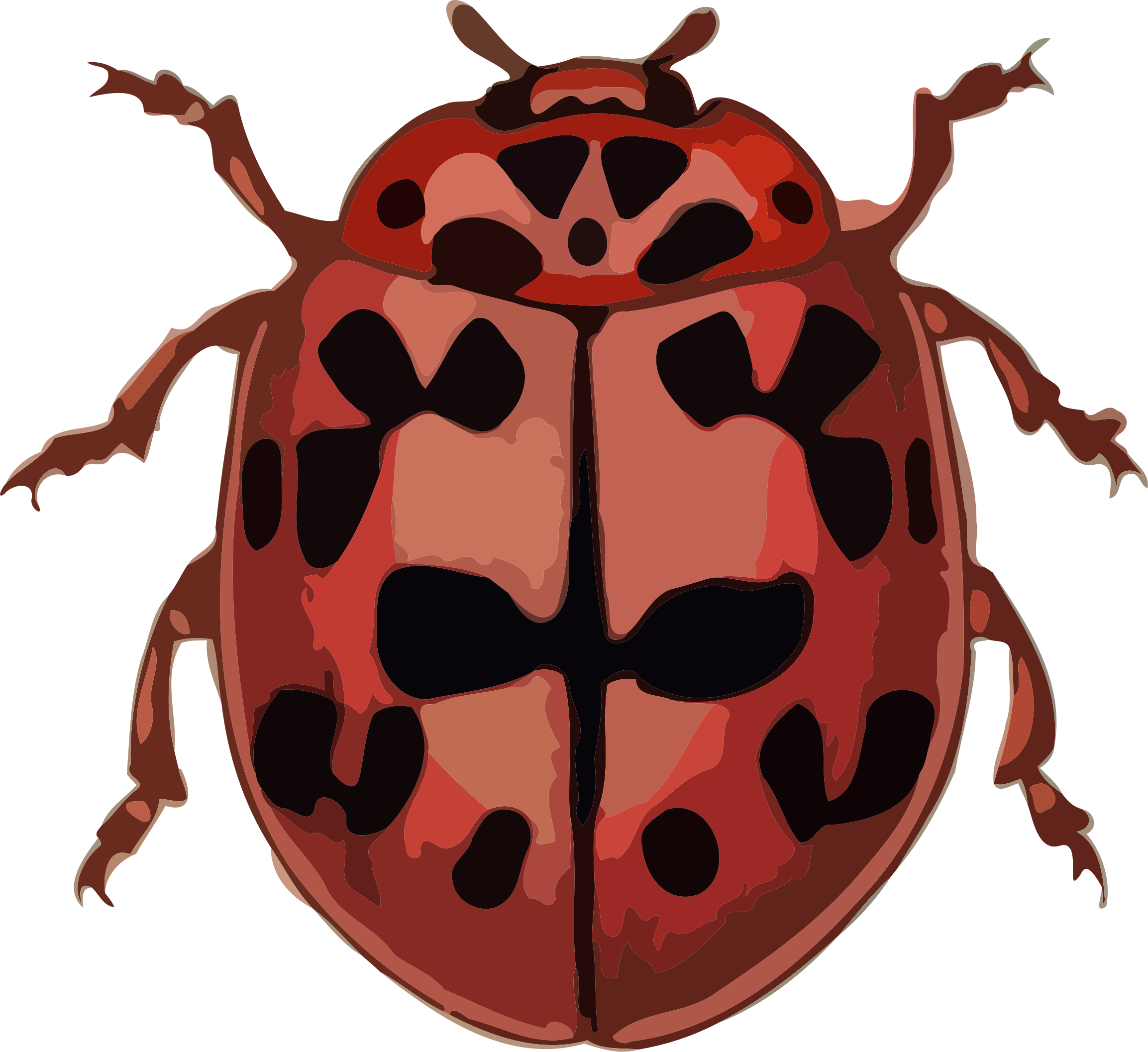 Coccinella conglobata by paulvern
