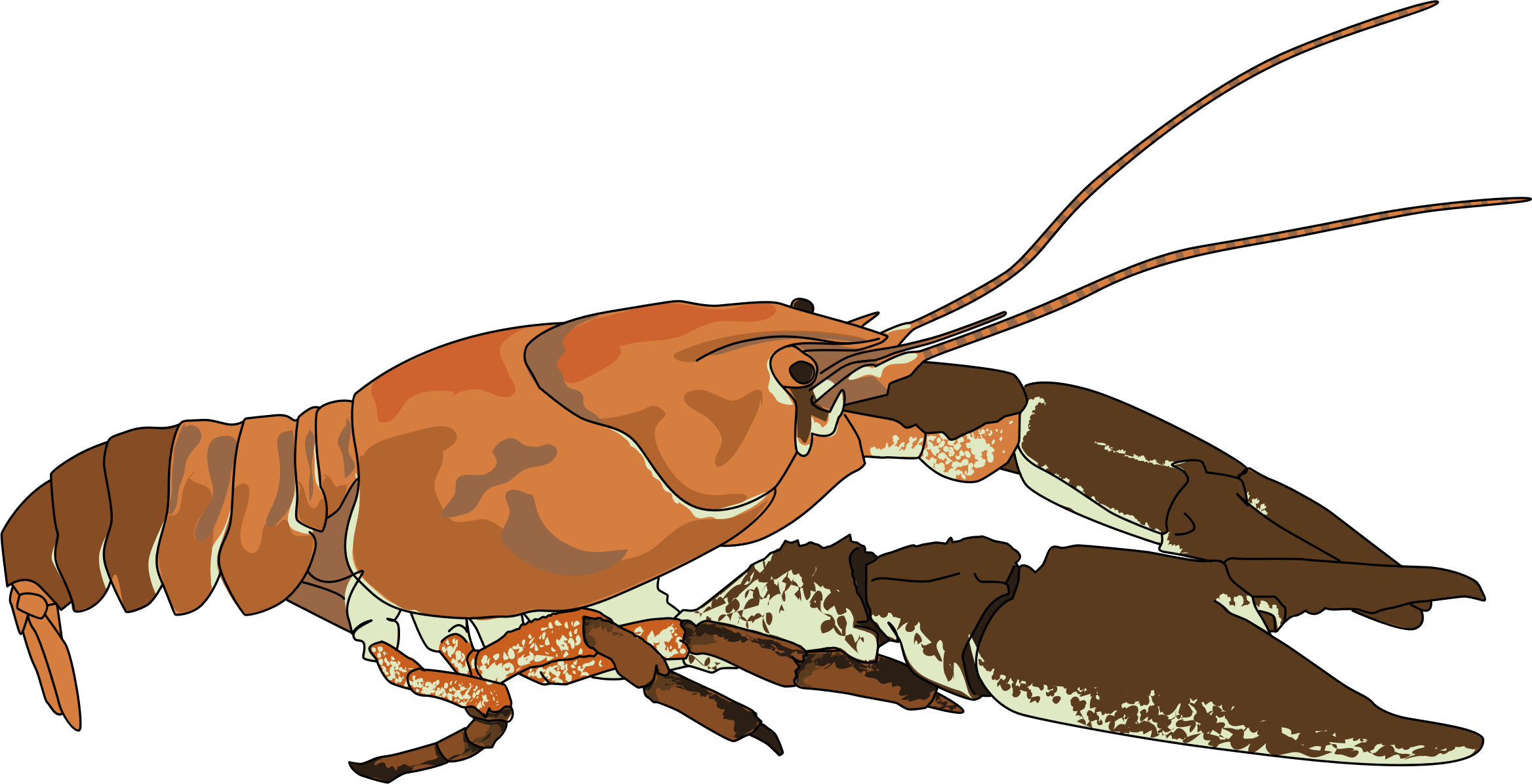 Ecrevisse a pattes blanches - white-clawed crayfish by enolynn