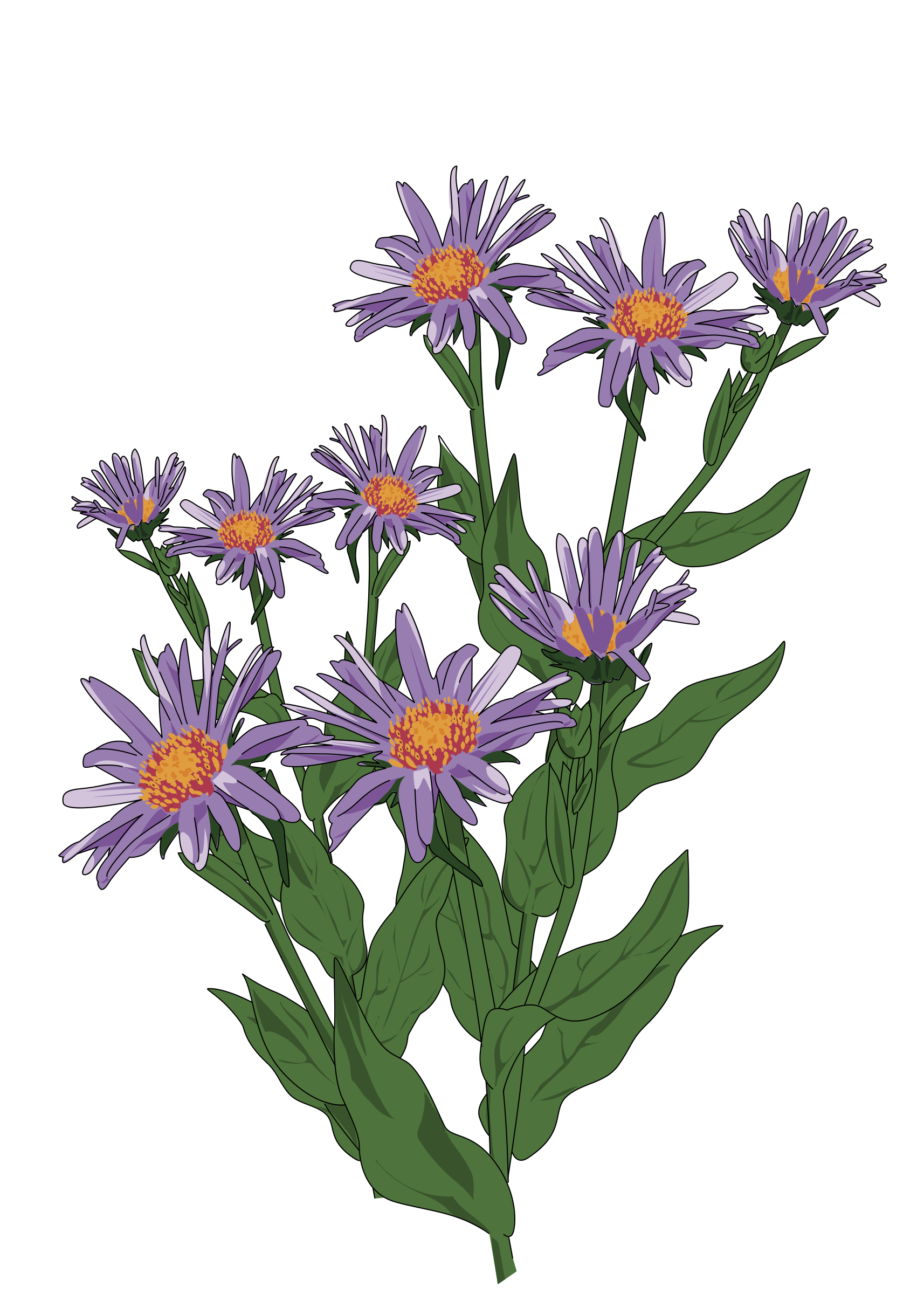 Aster des Pyrenees by enolynn