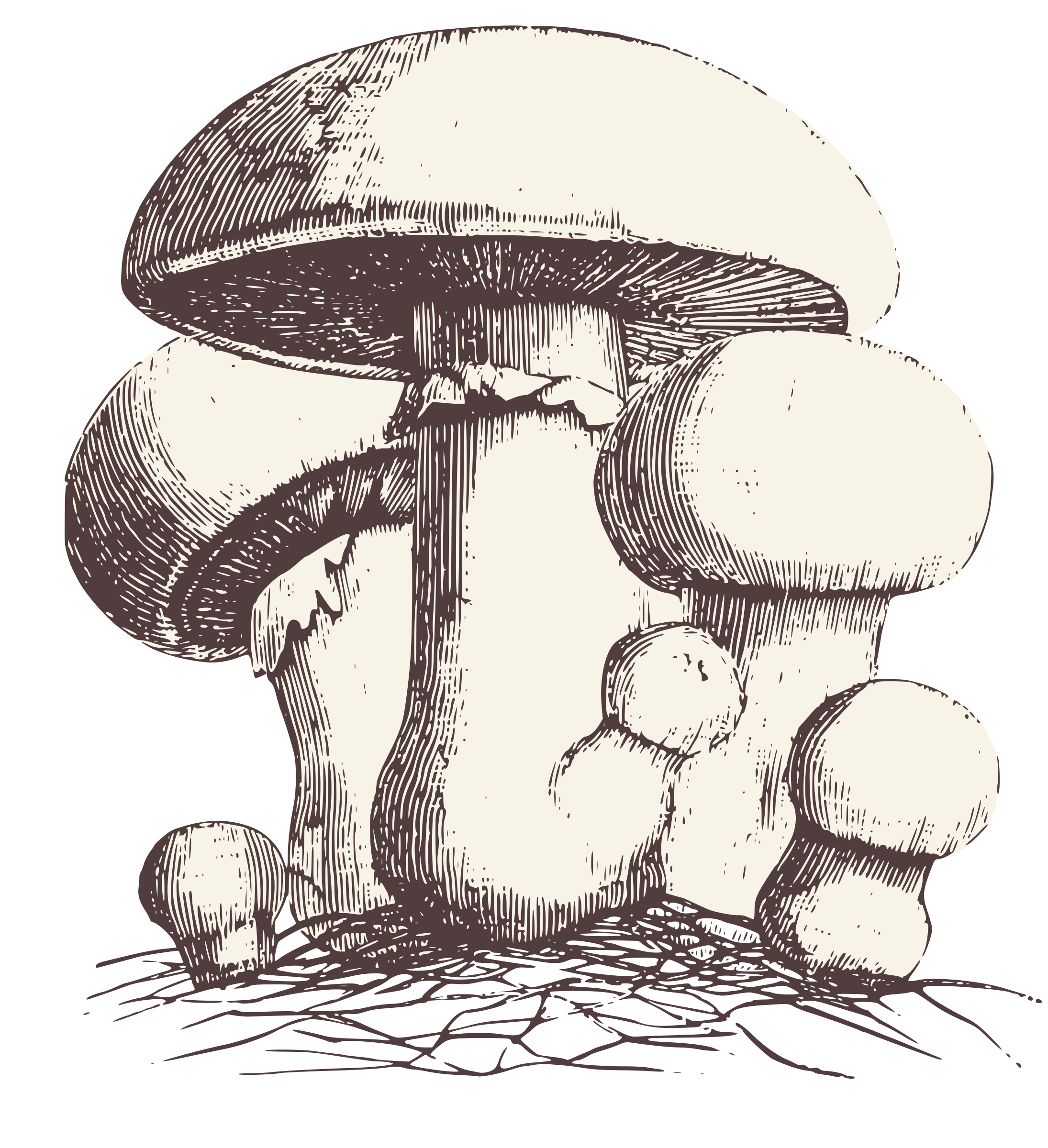Common Meadow Mushroom by ohsoniftyvintagegraphics