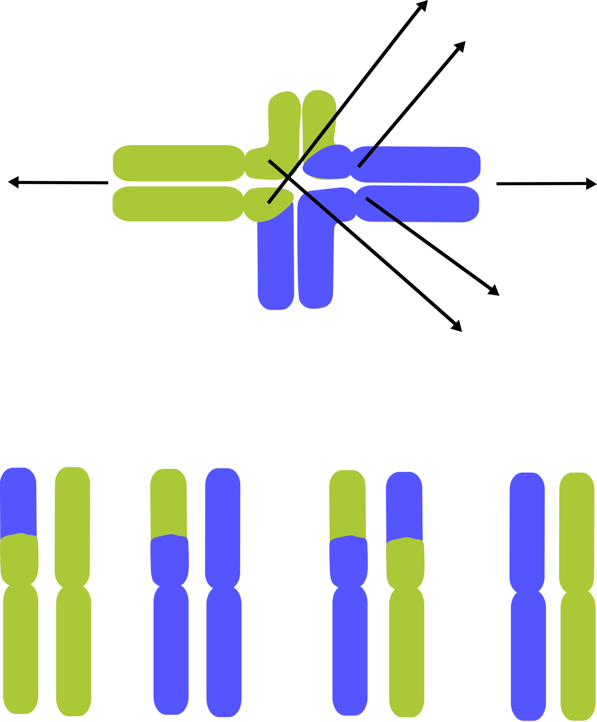 Translocated Chromosomes by JS