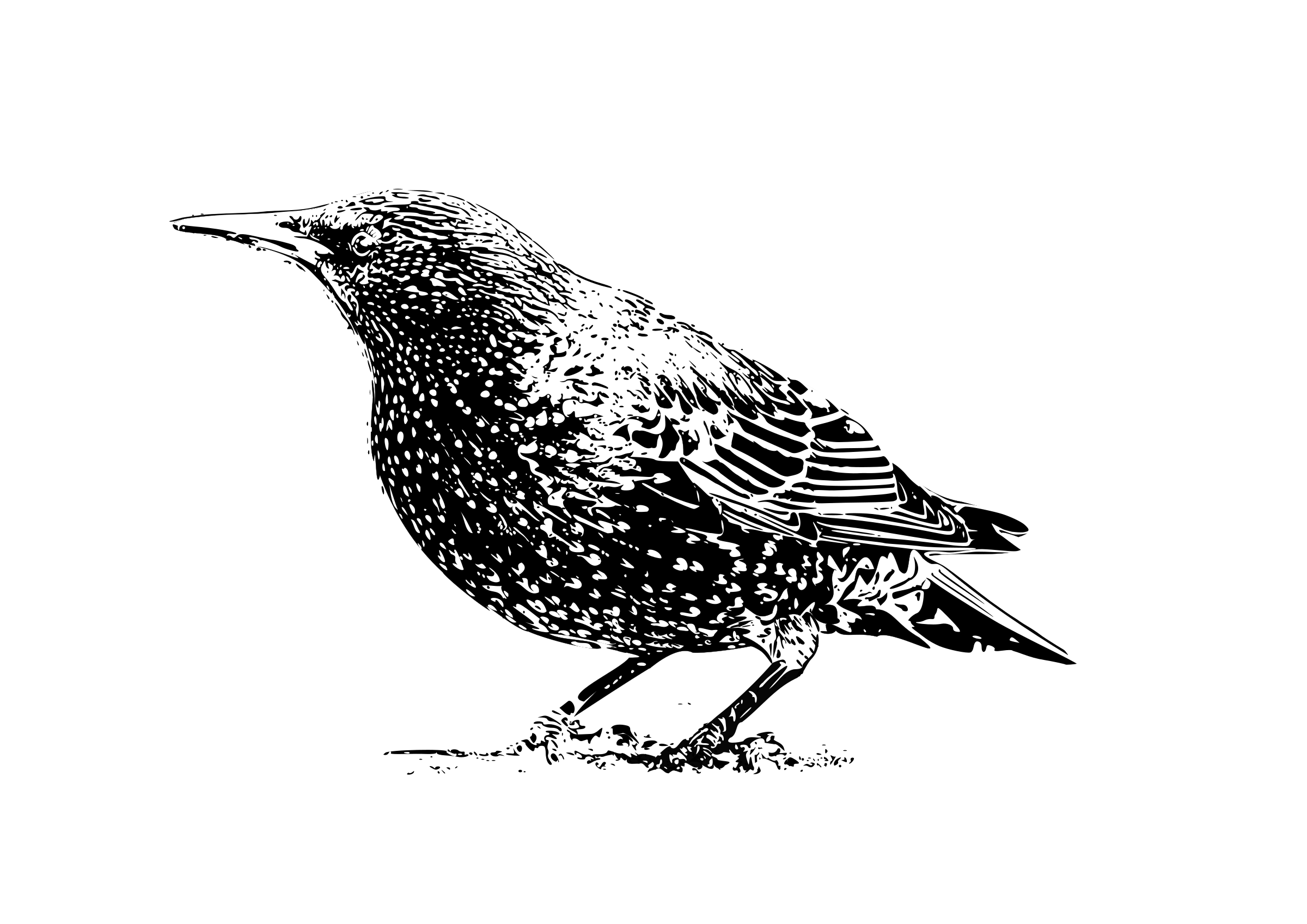 starling b&w by Helm42