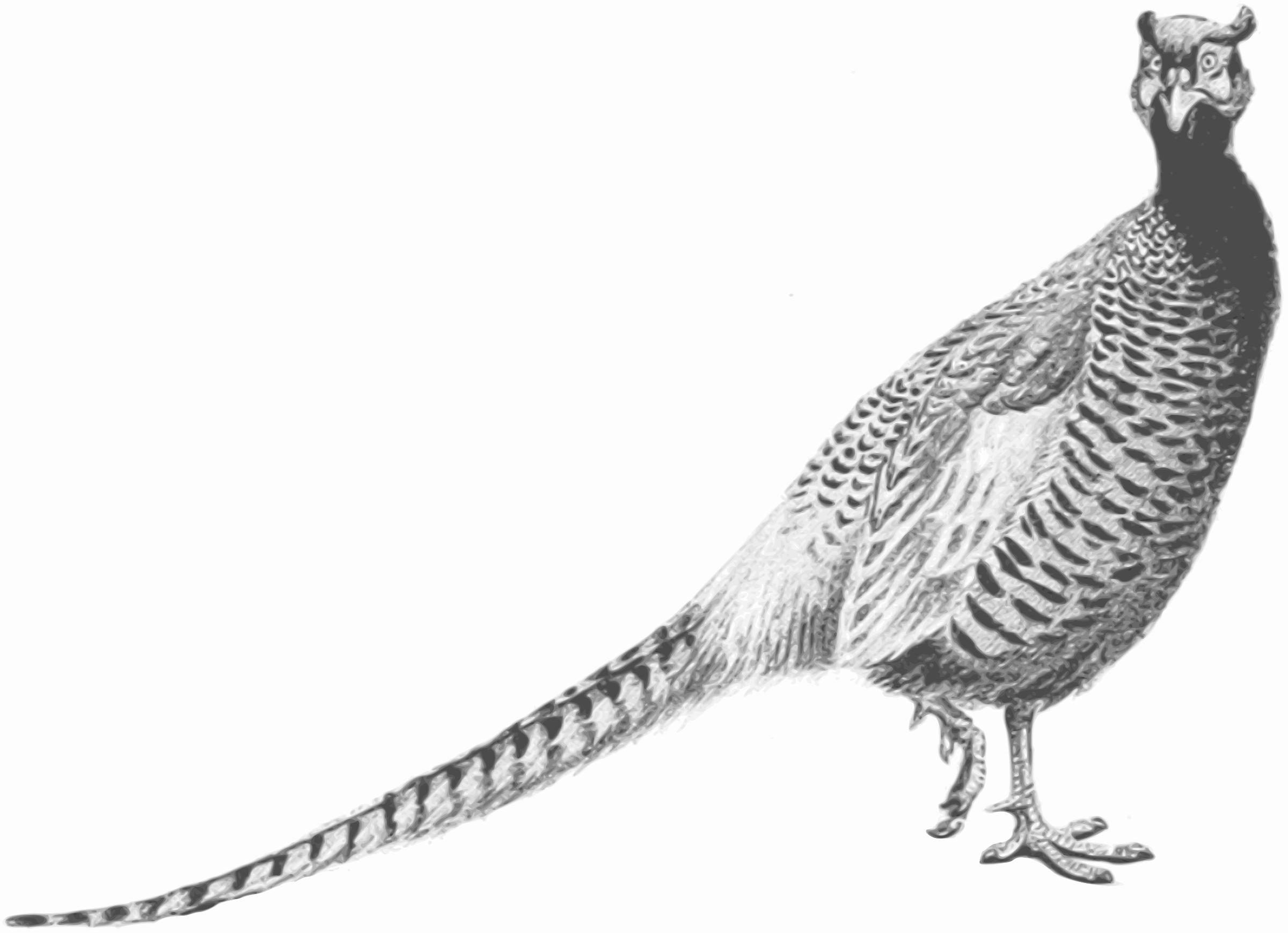 Clipart - Pheasant (gr...