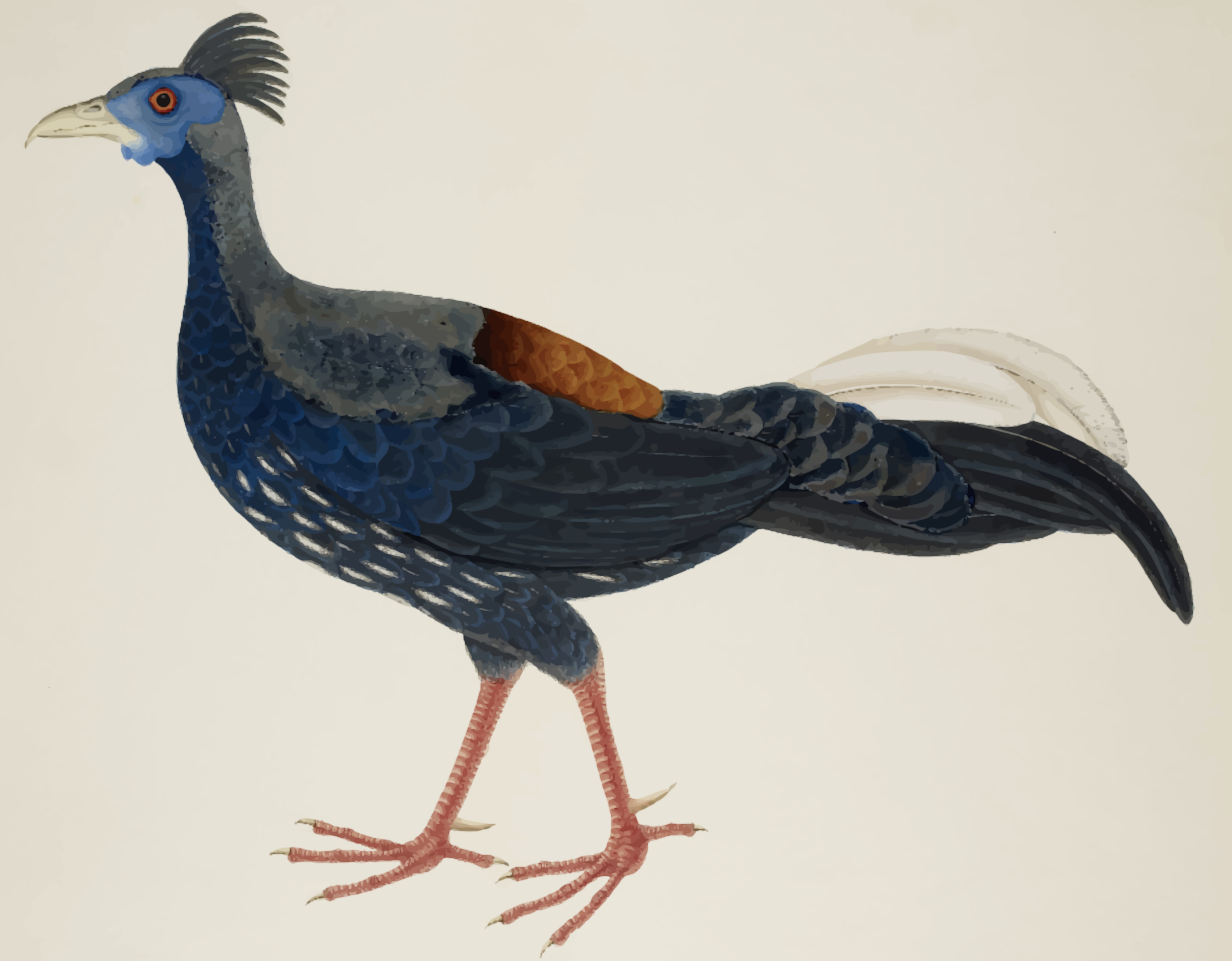 Crested fireback pheasant (colour) by Firkin