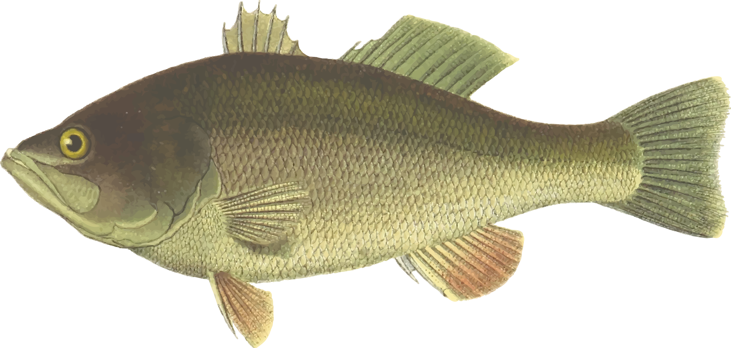 Clipart black bass for Bass fish images