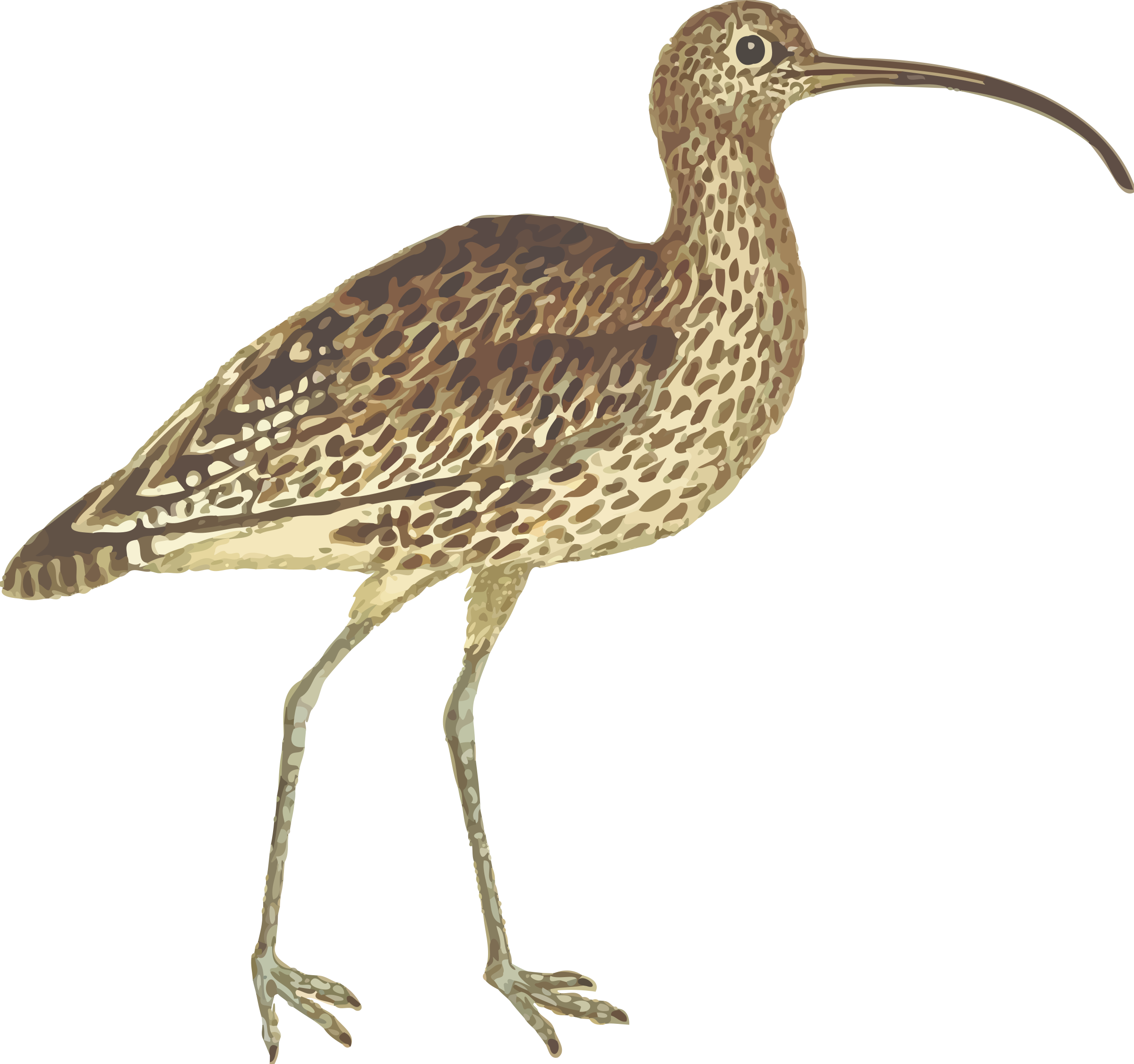 Curlew (isolated) by Firkin