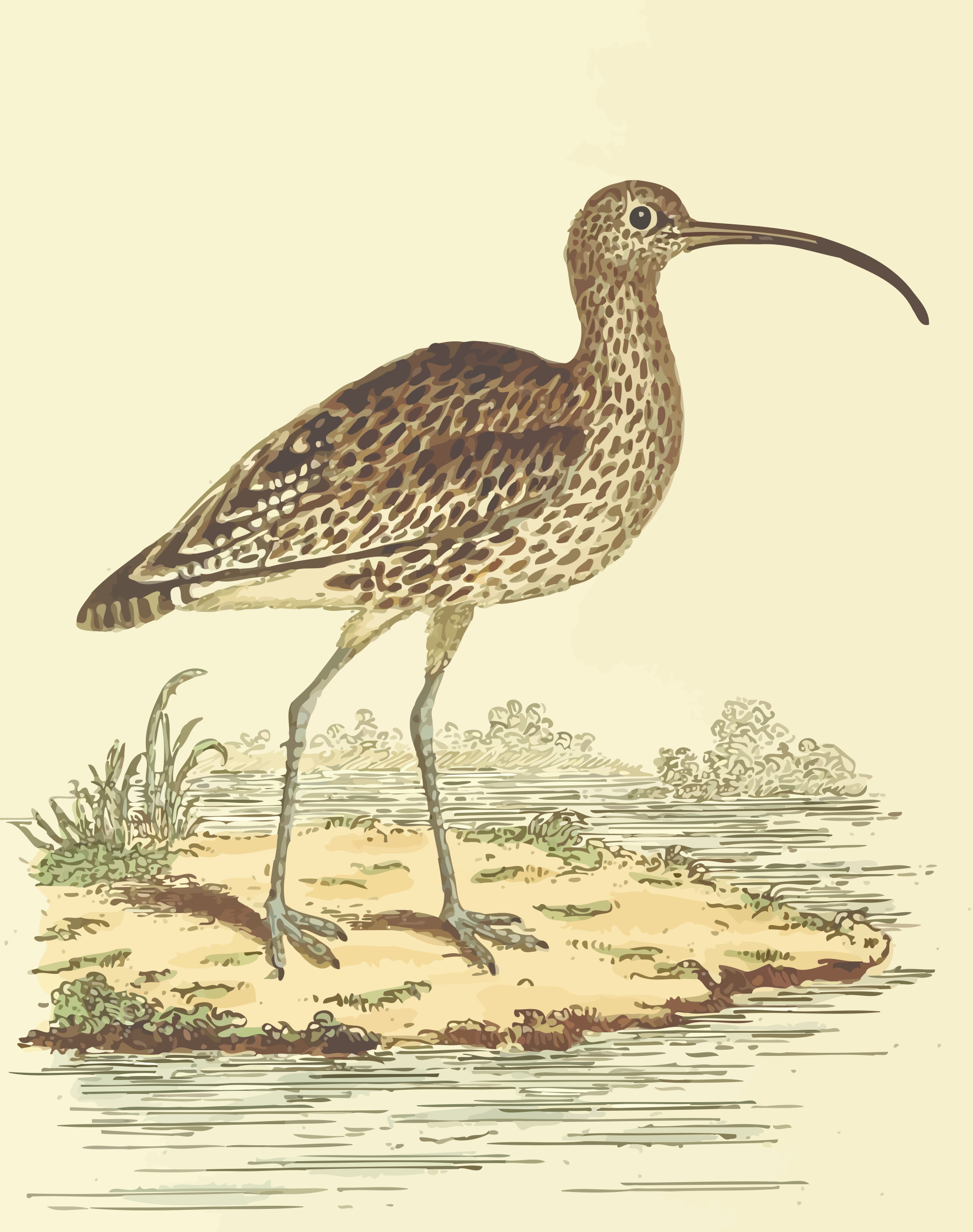 Curlew (with background) by Firkin