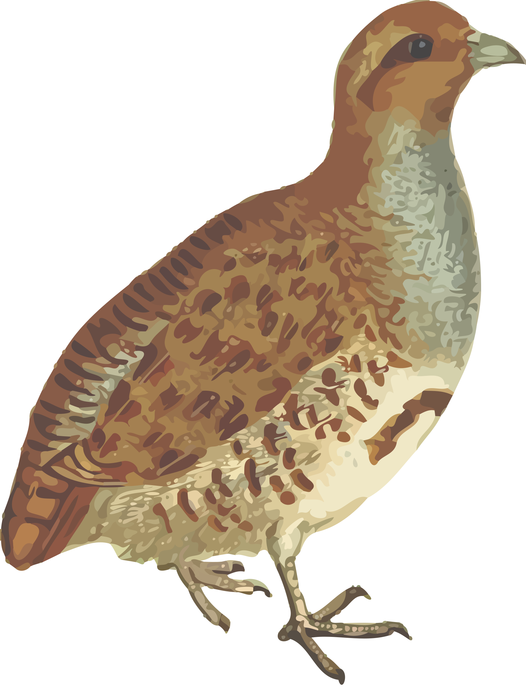 Grey partridge (isolated) by Firkin