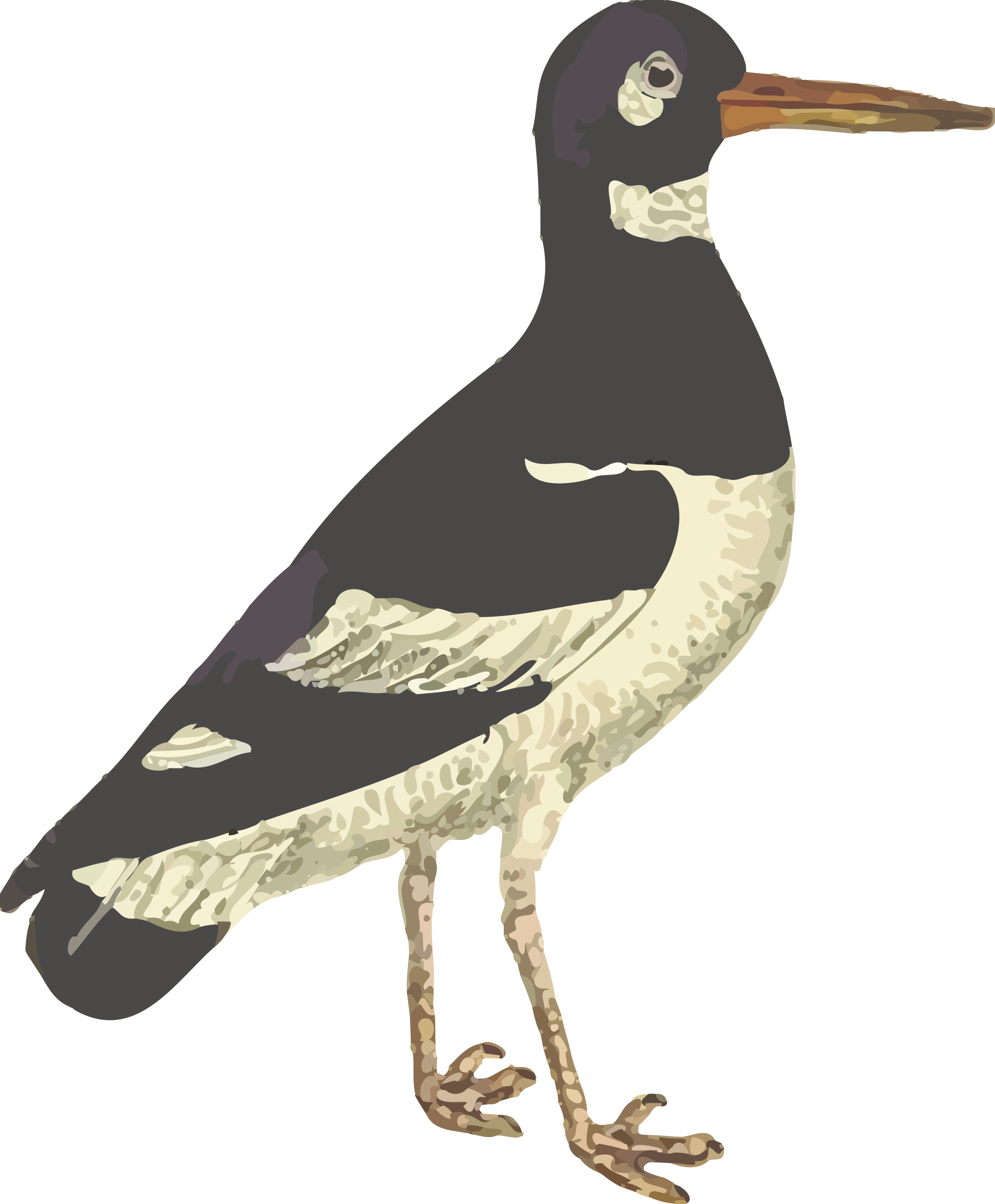 Eurasian oystercatcher (isolated) by Firkin
