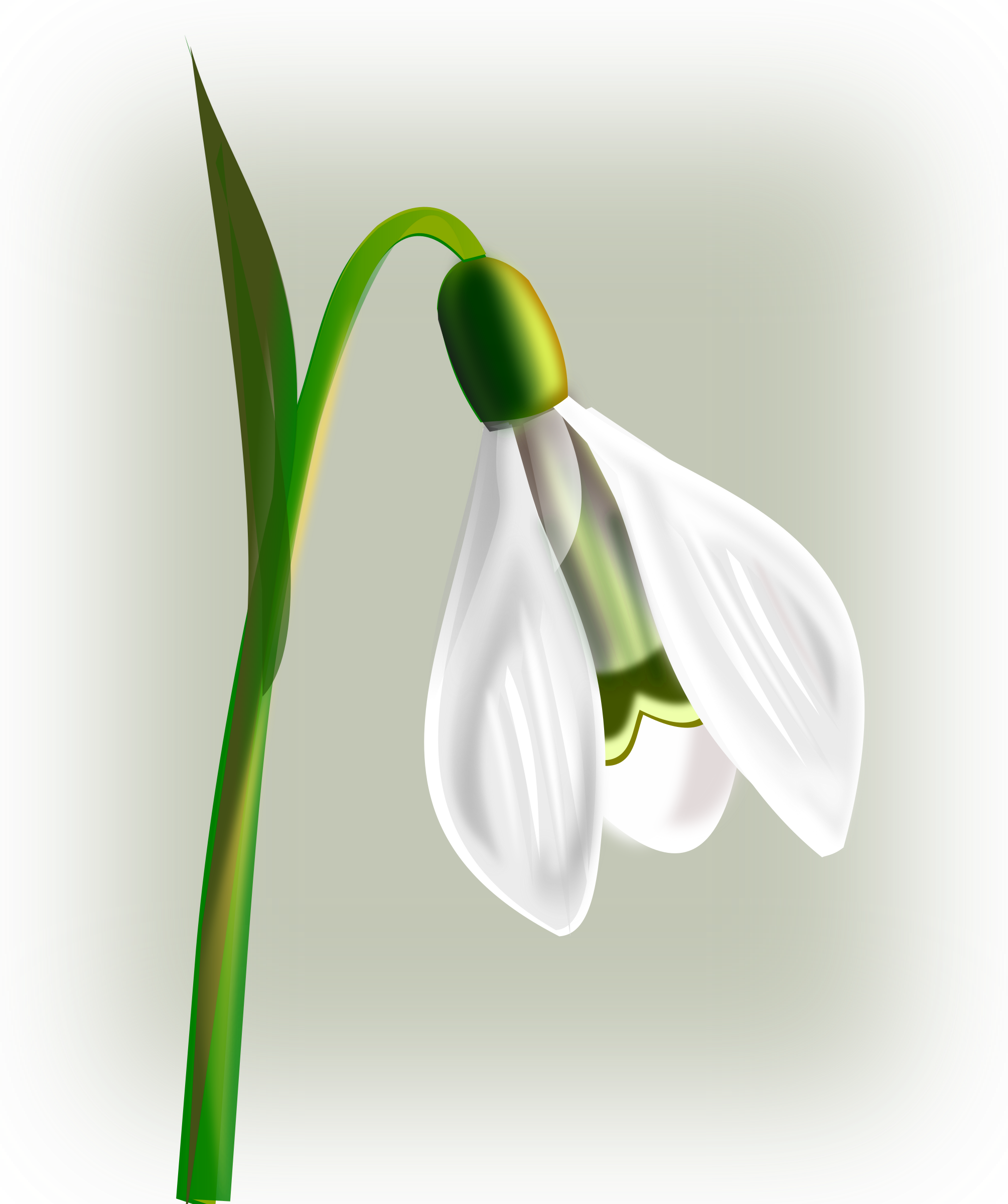 flowers snowdrop by gurica