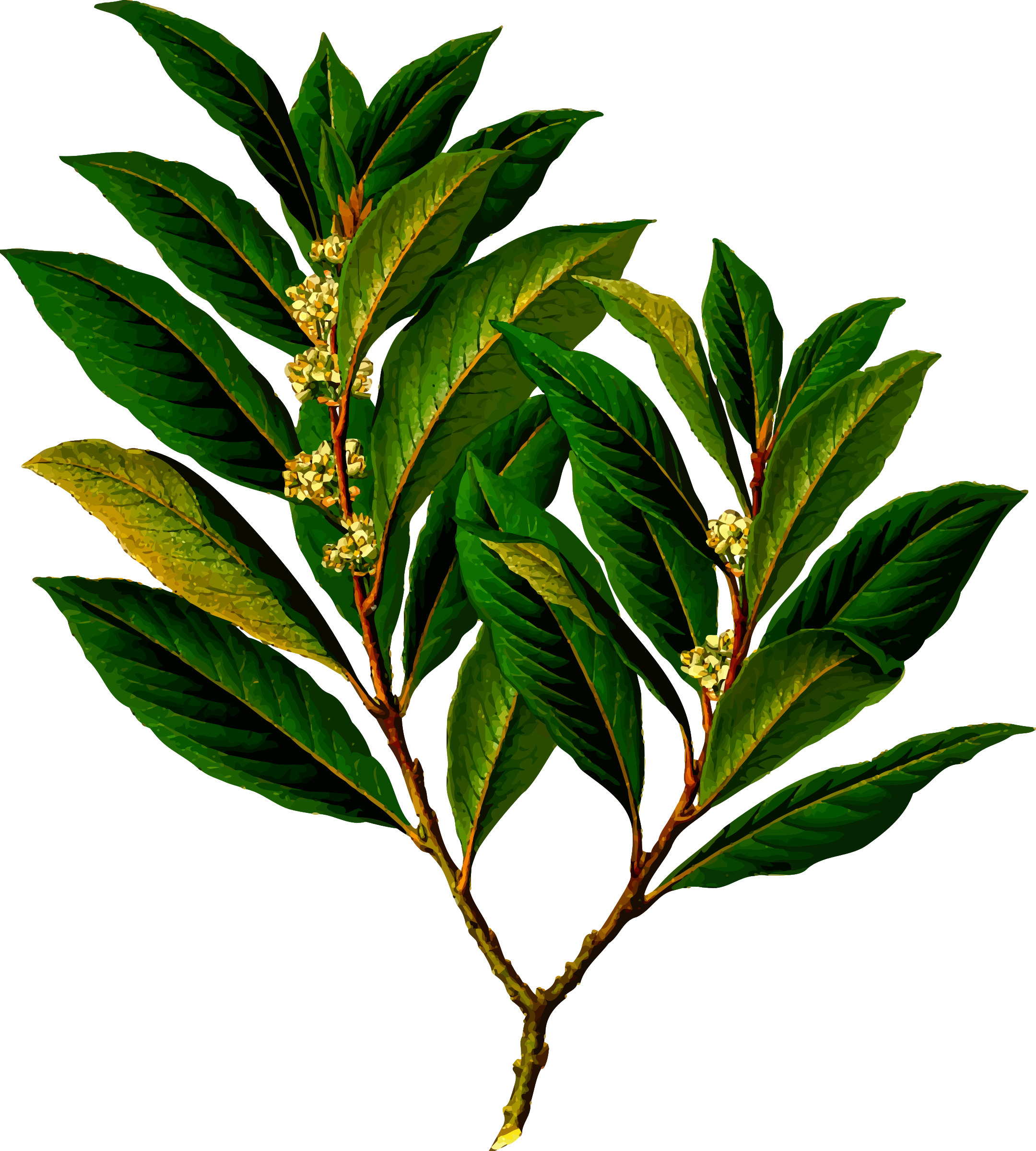 Bay laurel (detailed) by Firkin