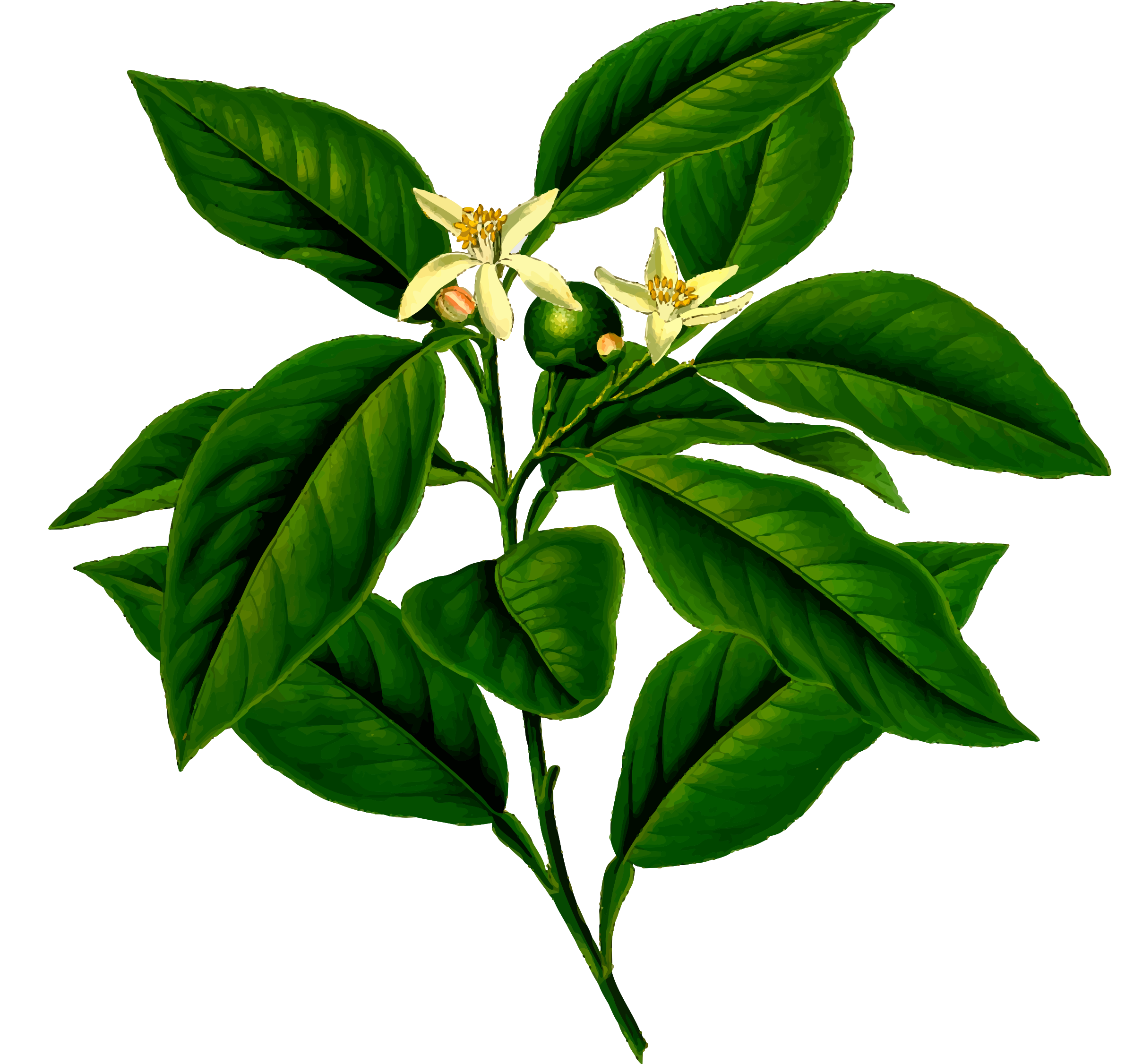 Lemon tree (detailed) by Firkin