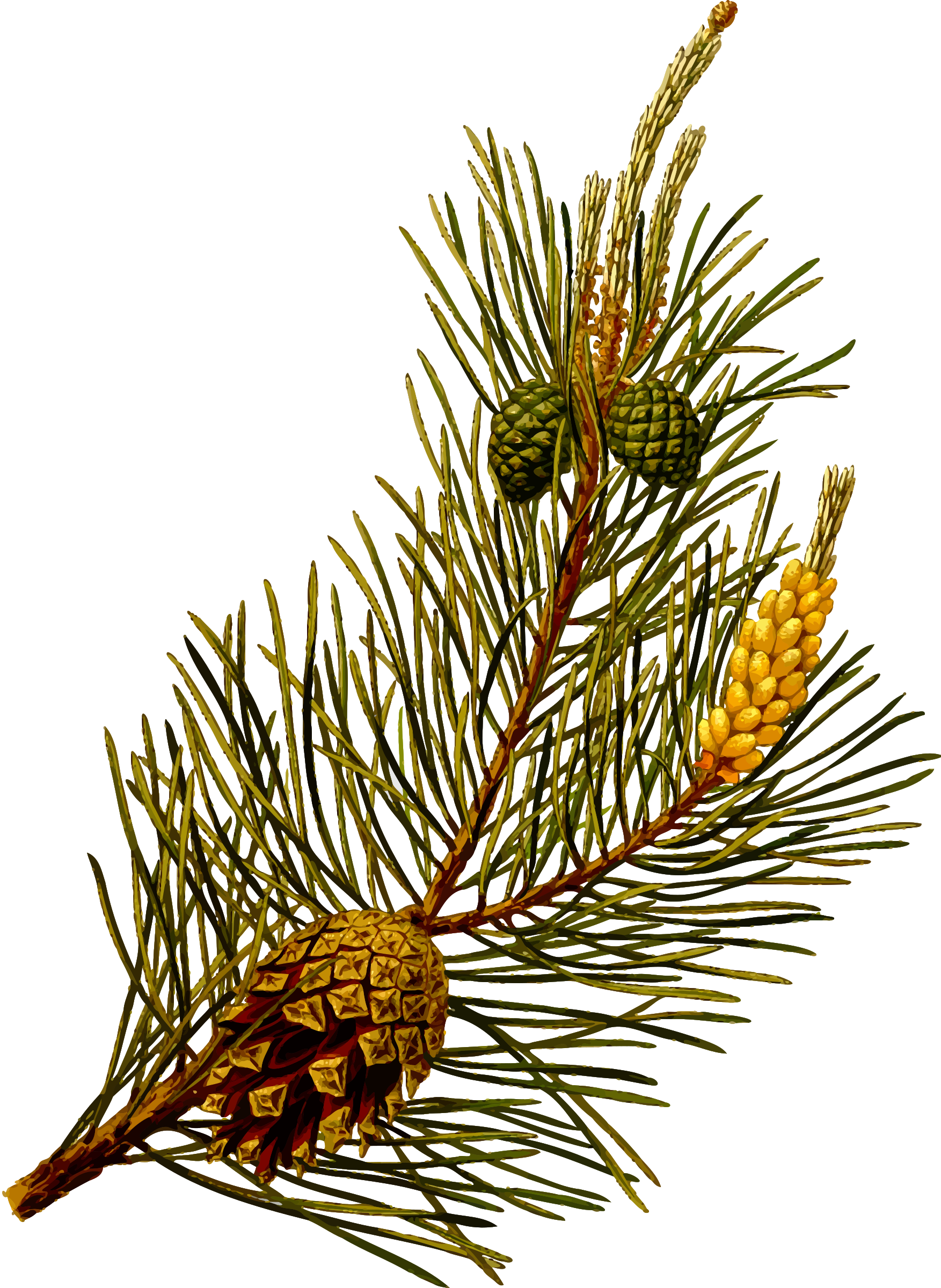 Scots pine (detailed) by Firkin