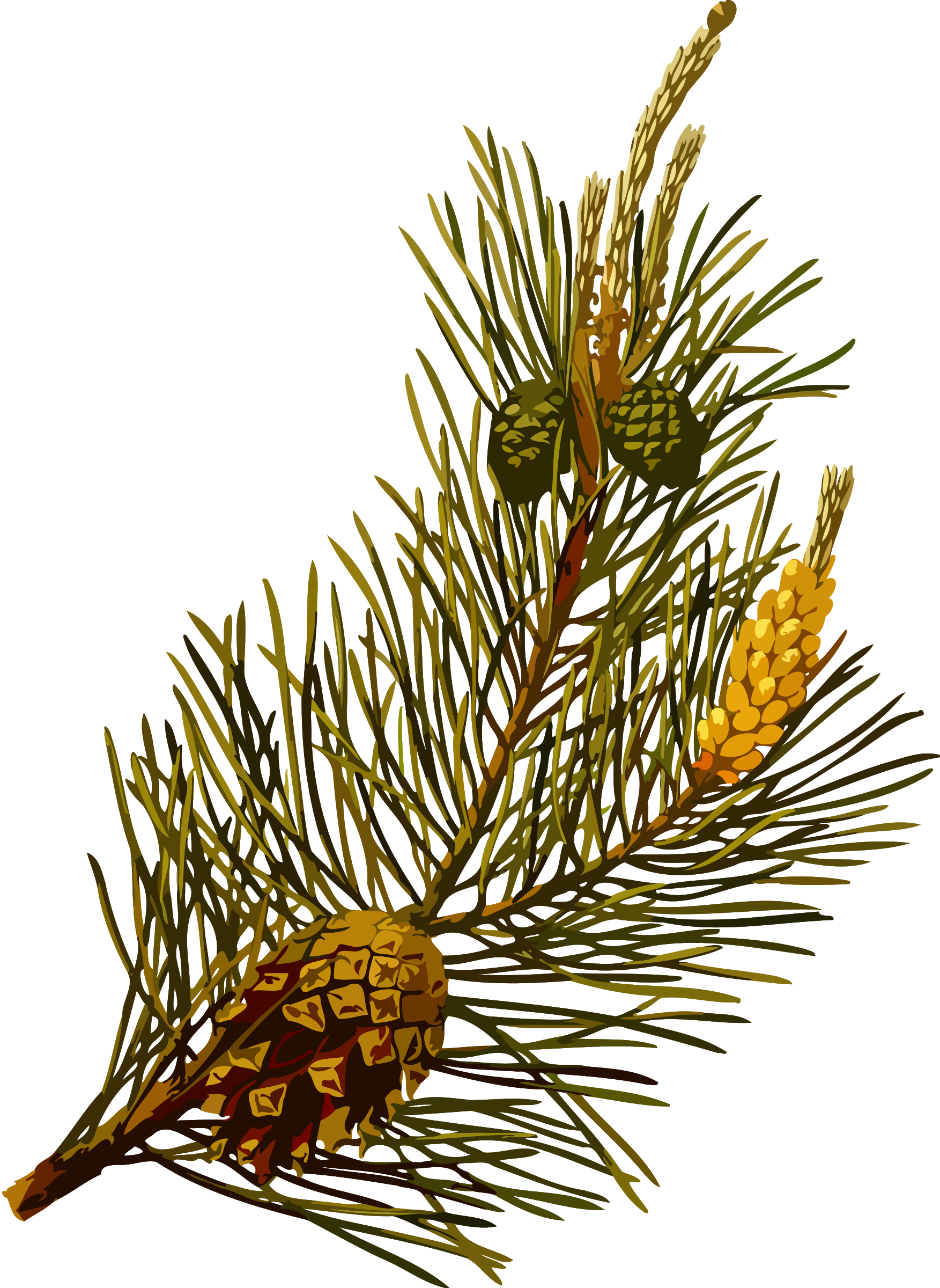 Scots pine (low resolution) by Firkin