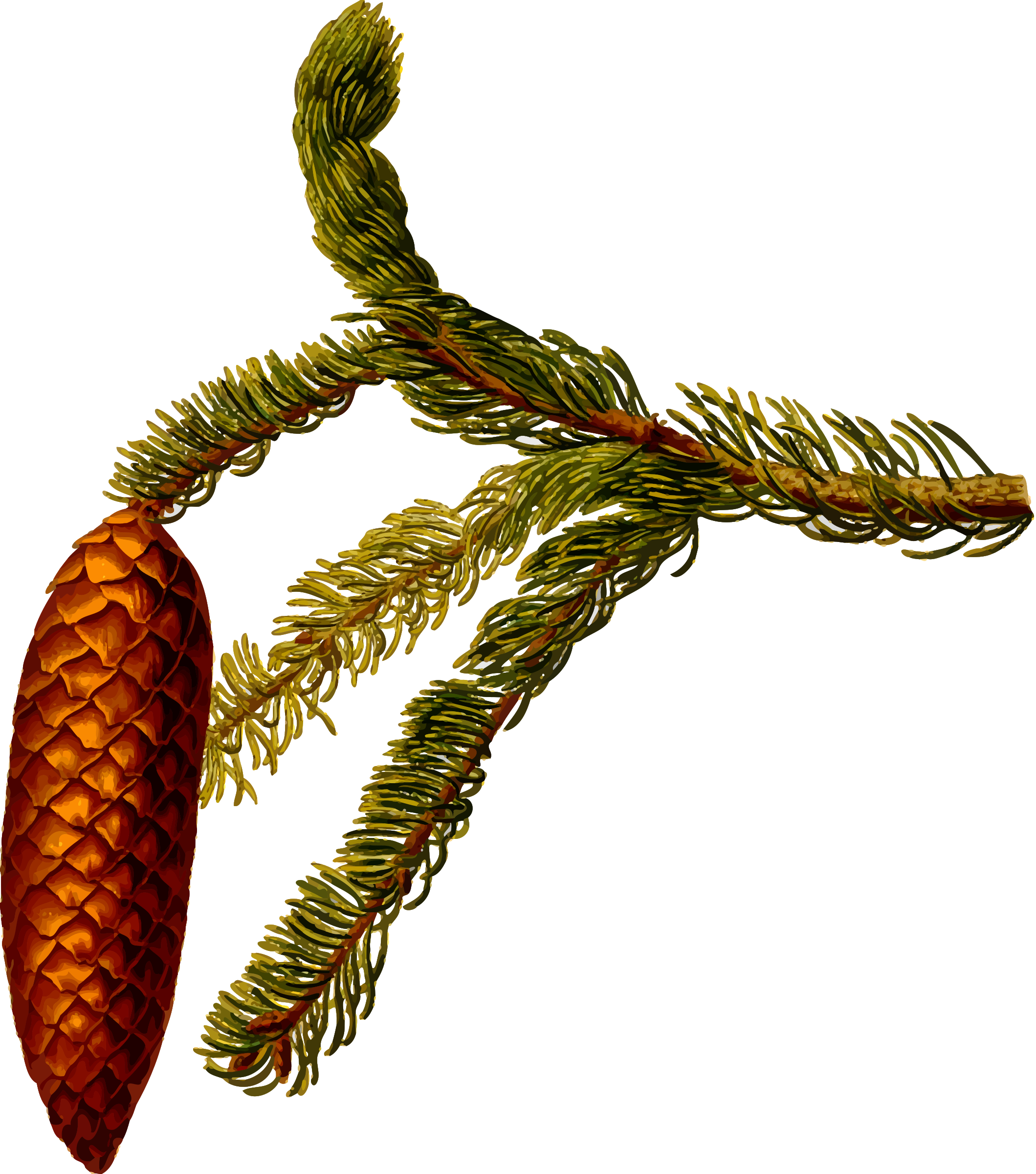 Common spruce (detailed) by Firkin