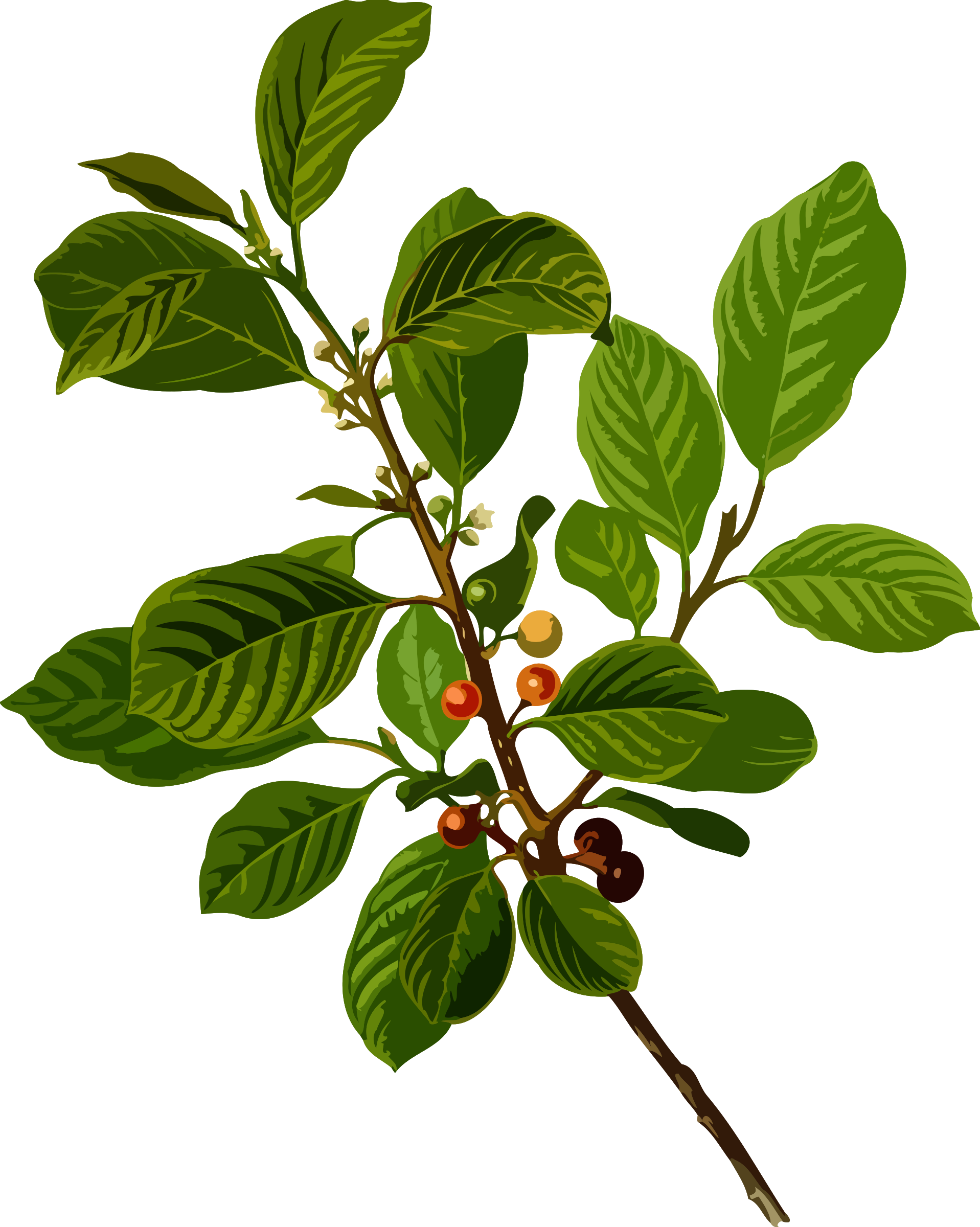 Alder buckthorn (low resolution) by Firkin