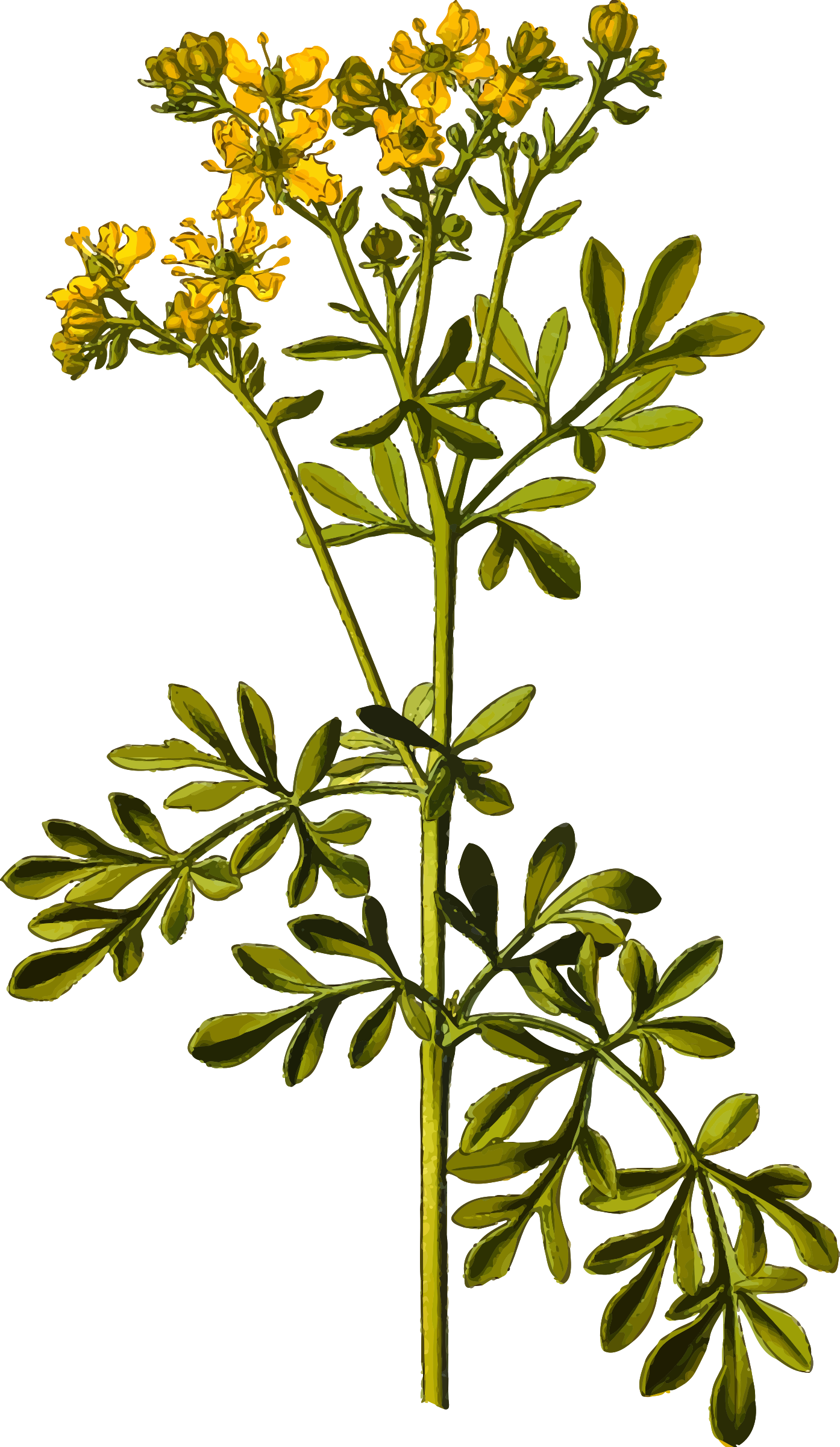 Common rue (detailed) by Firkin