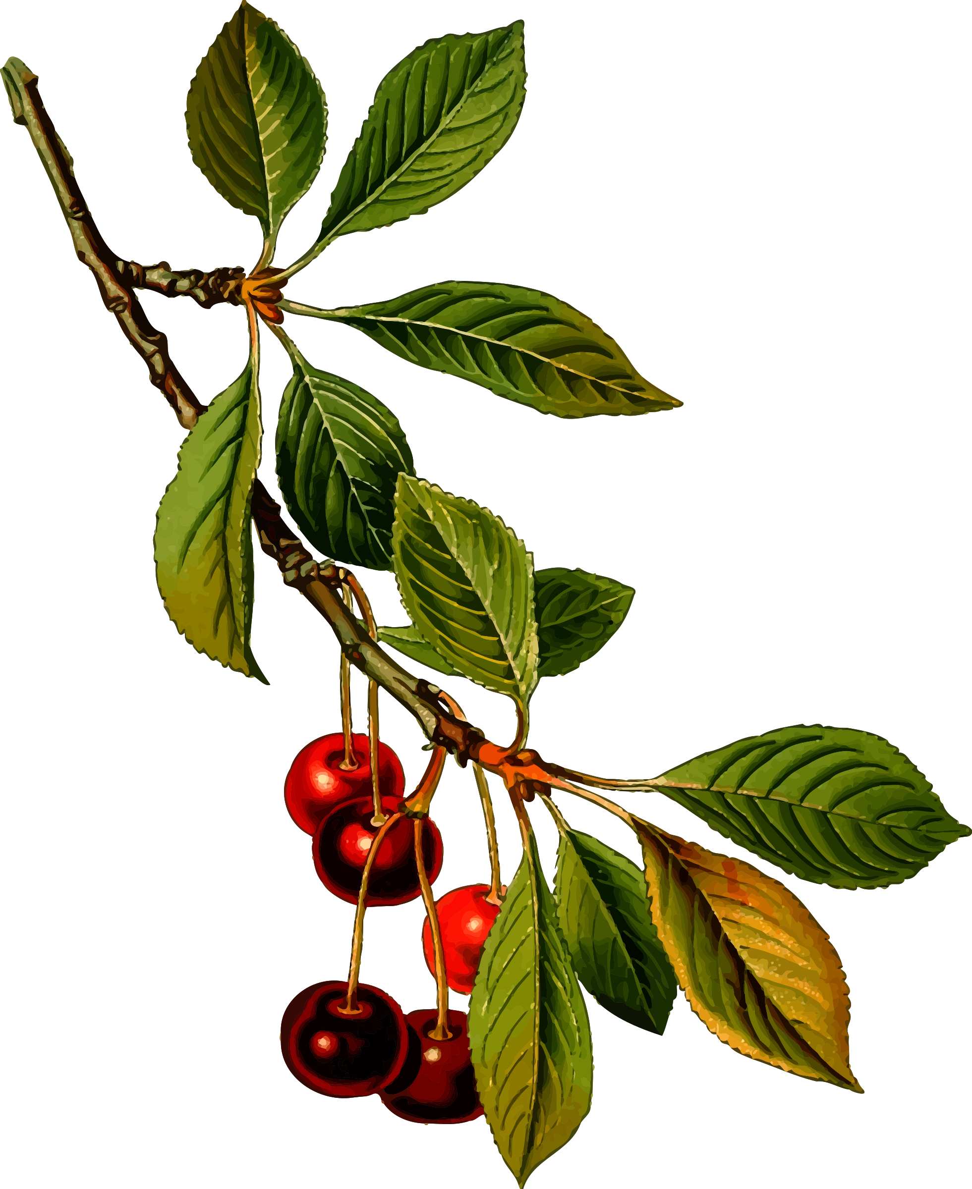 Sour cherry tree 2 (detailed) by Firkin