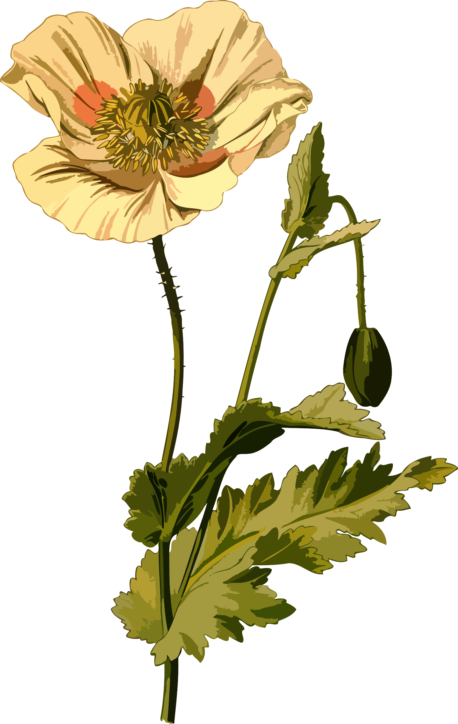 Opium poppy (low resolution) by Firkin