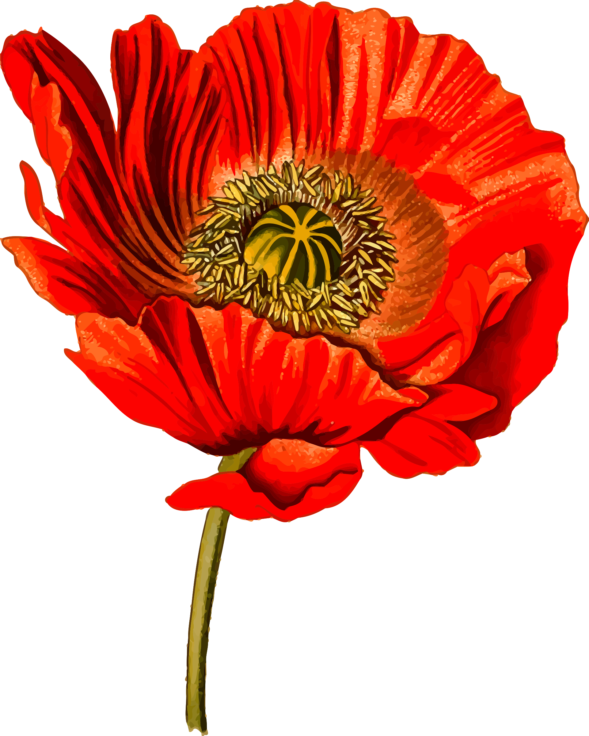 Opium poppy 2 (detailed) by Firkin