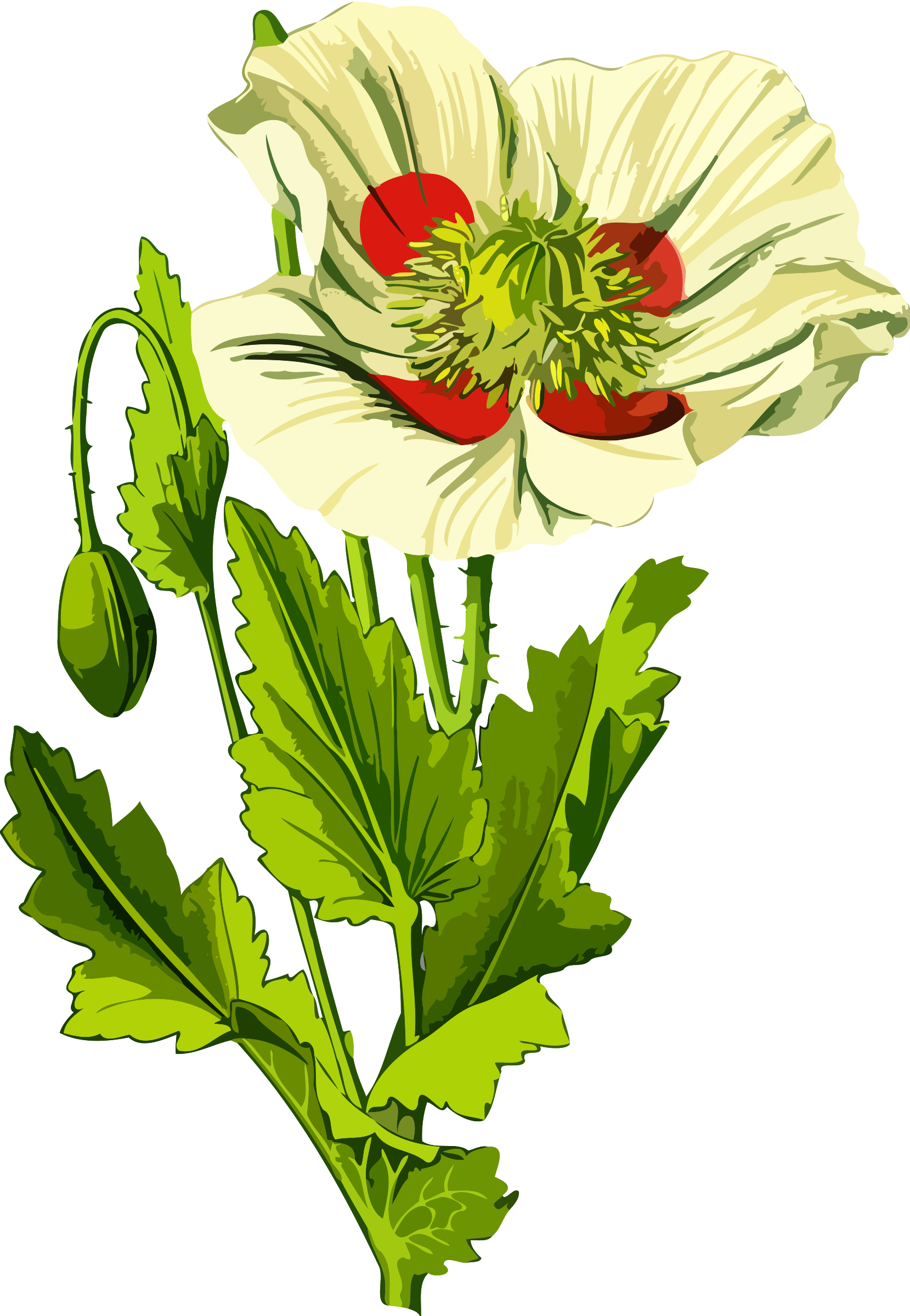 Opium poppy 3 (low resoloution) by Firkin