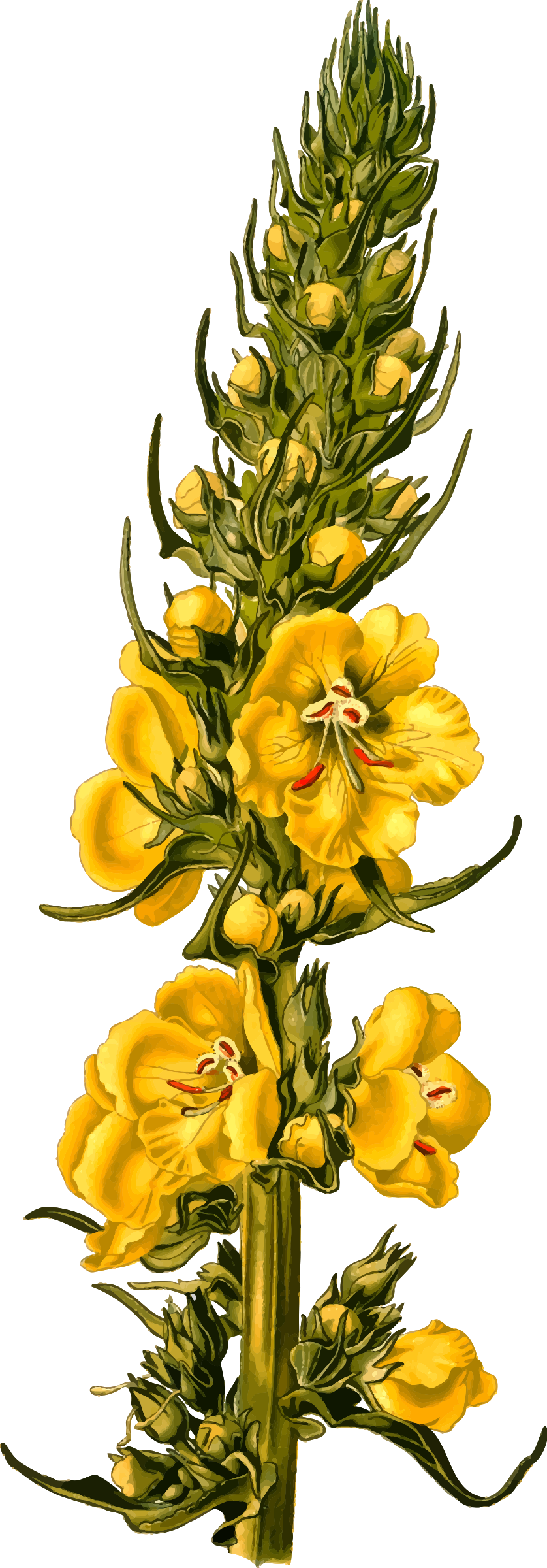 Orange mullein (detailed) by Firkin