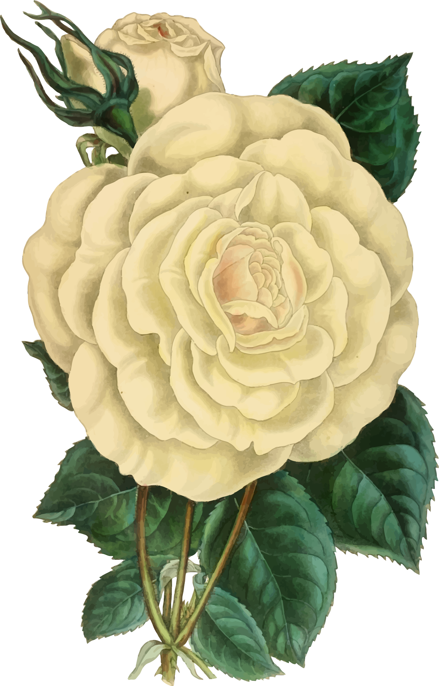 Vintage Rose Illustration by GDJ