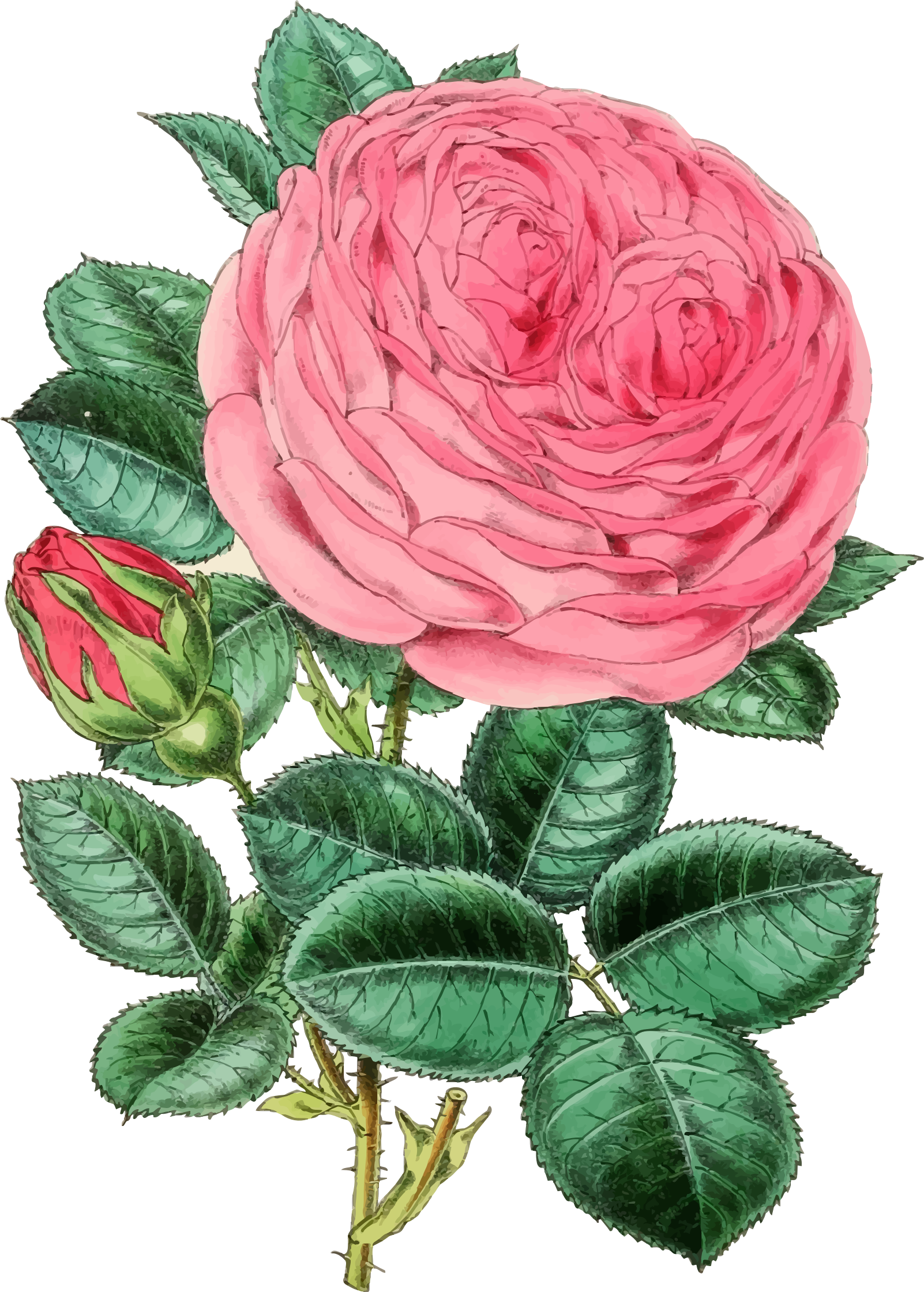 Vintage Rose Illustration 2 by GDJ