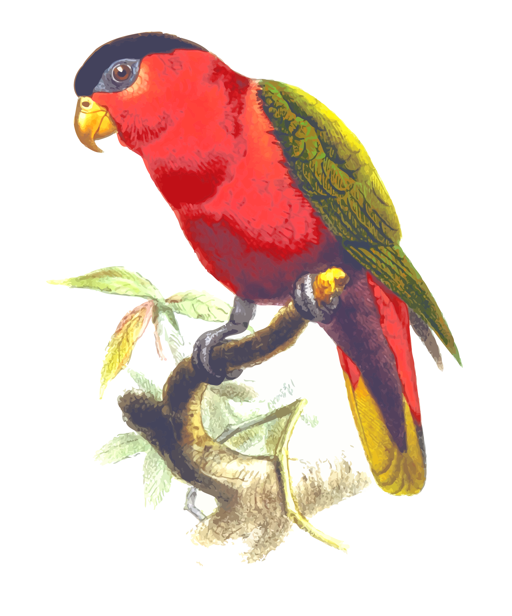 Purple-bellied lory by Firkin