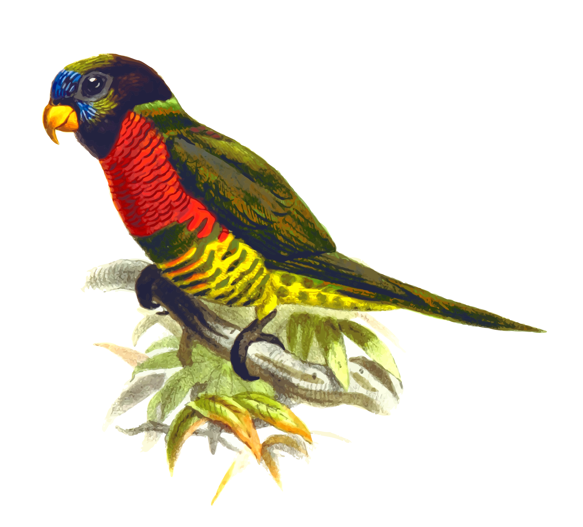 Coconut lorikeet by Firkin
