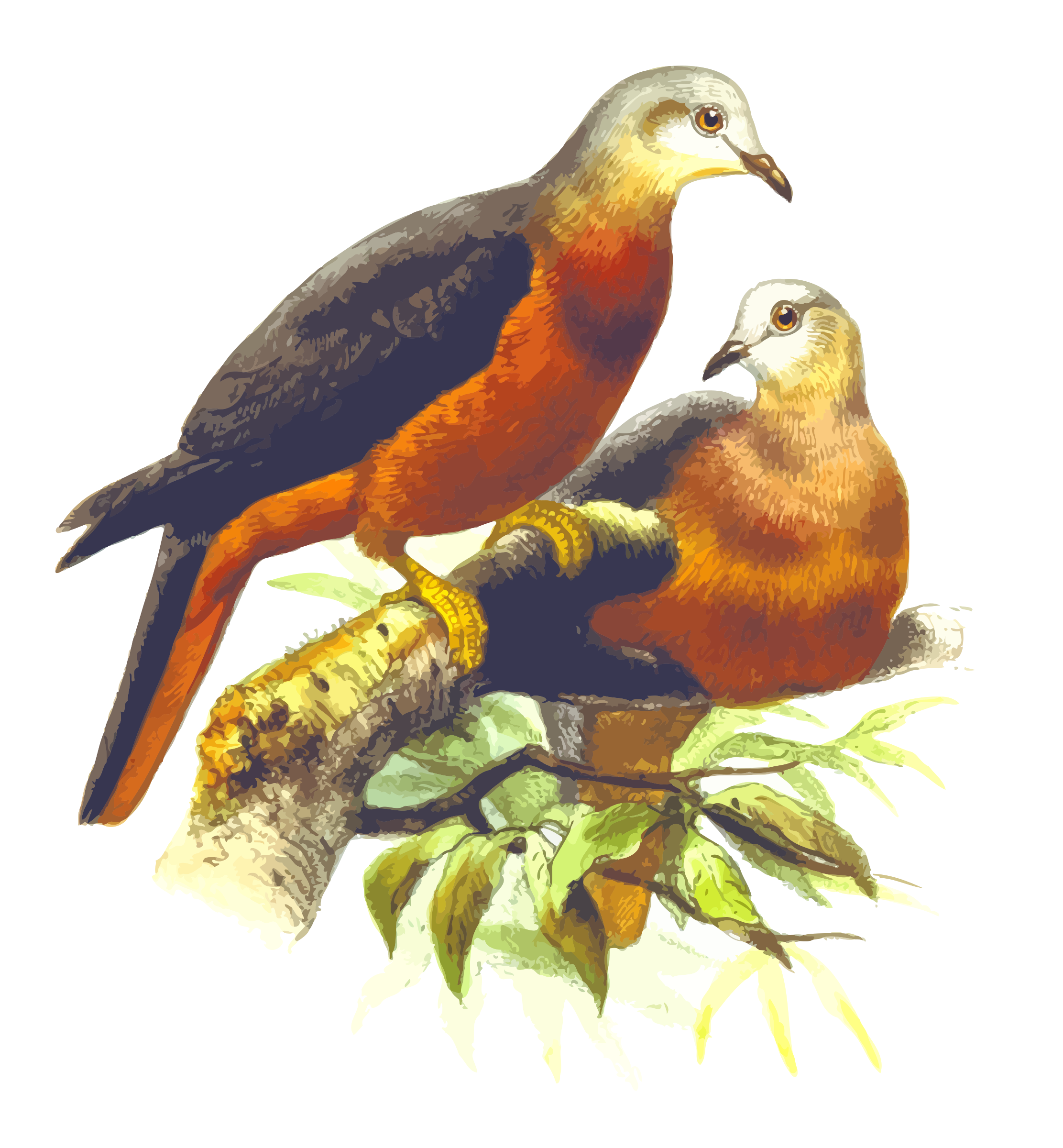 Chestnut-bellied imperial pigeon by Firkin