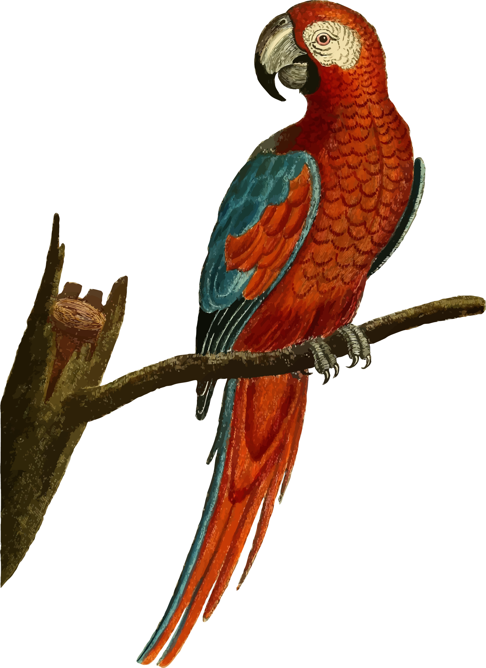 Vintage Deep Red Parrot Illustration by GDJ
