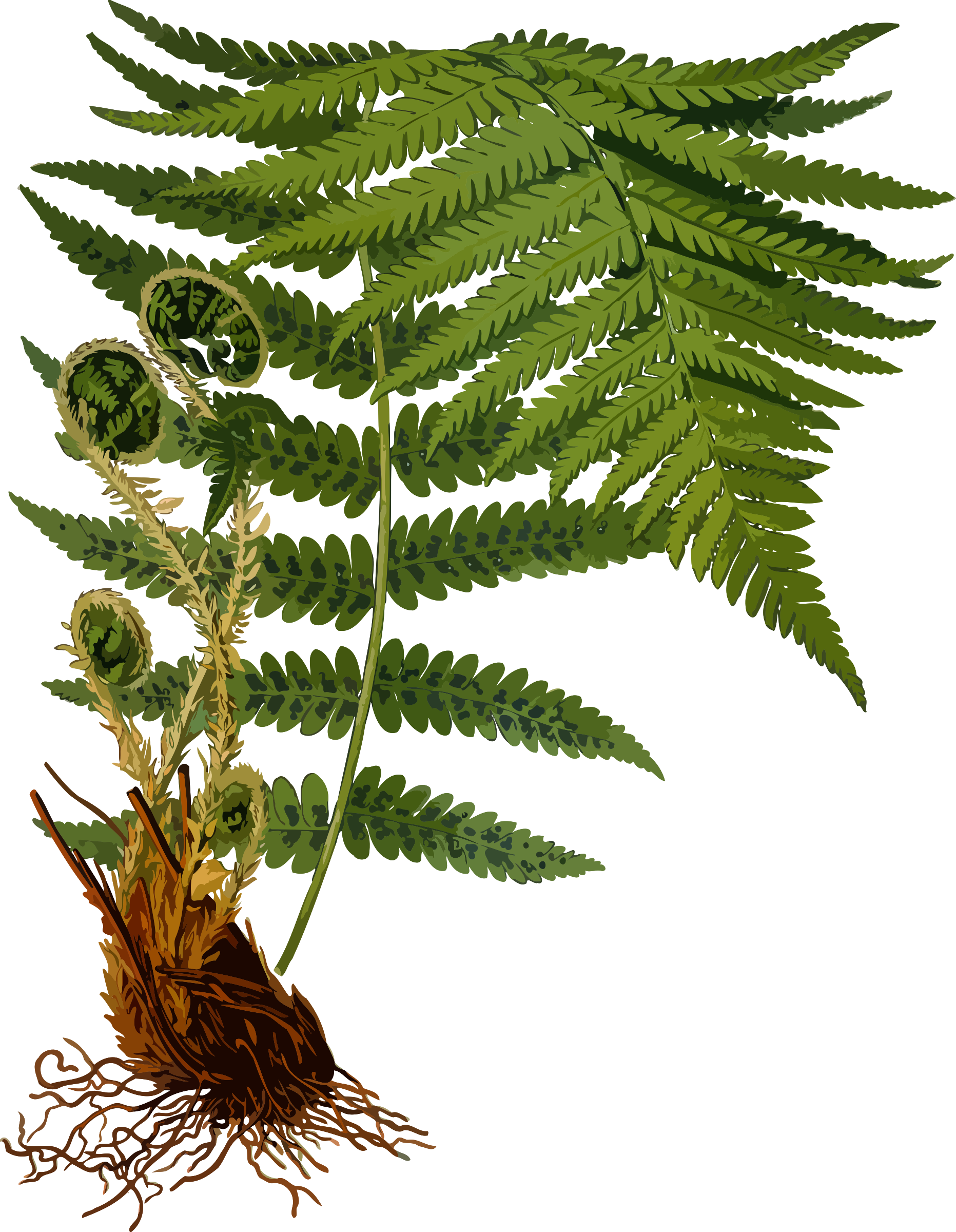 Male fern 2 (low resolution) by Firkin