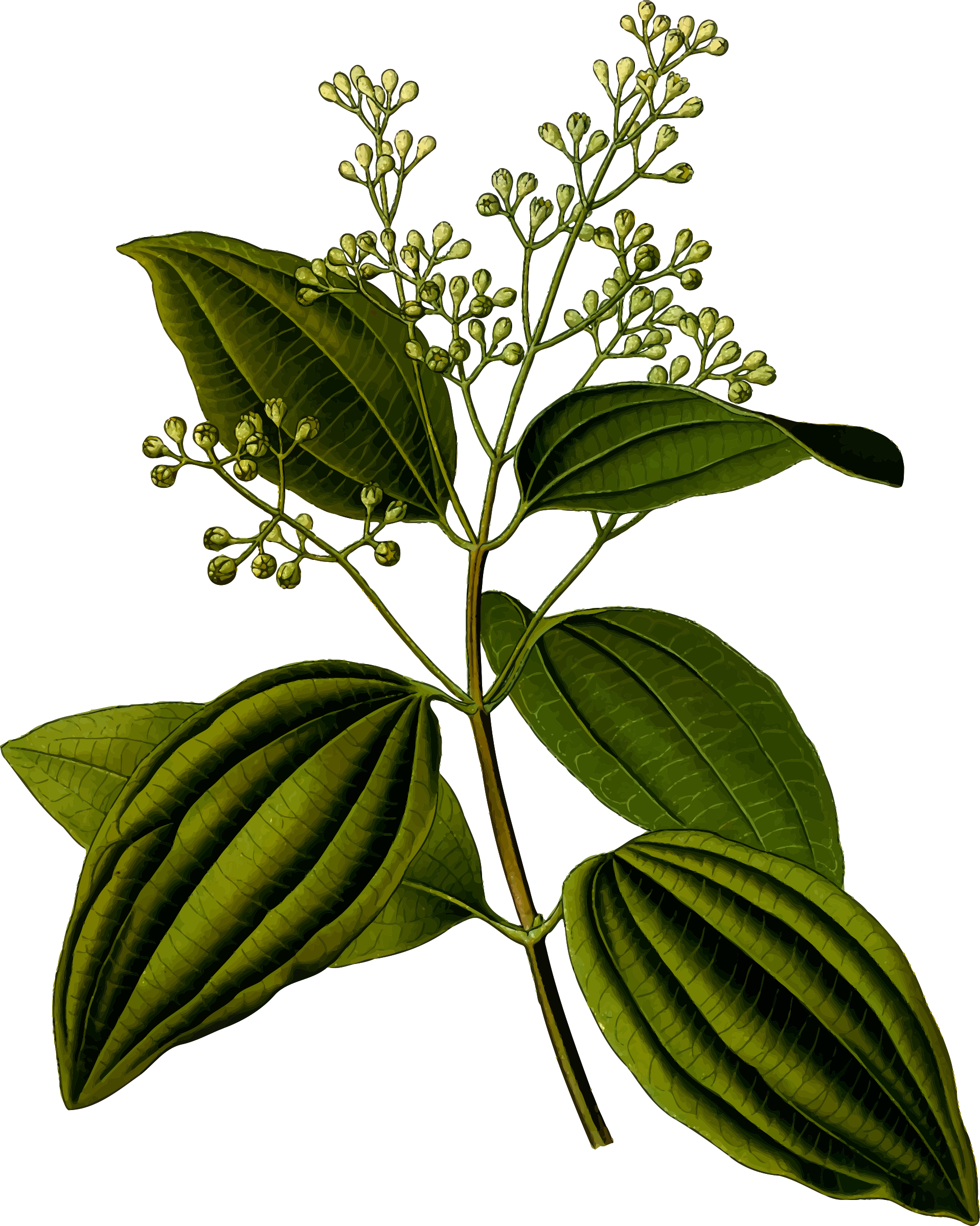 Ceylon cinnamon (detailed) by Firkin