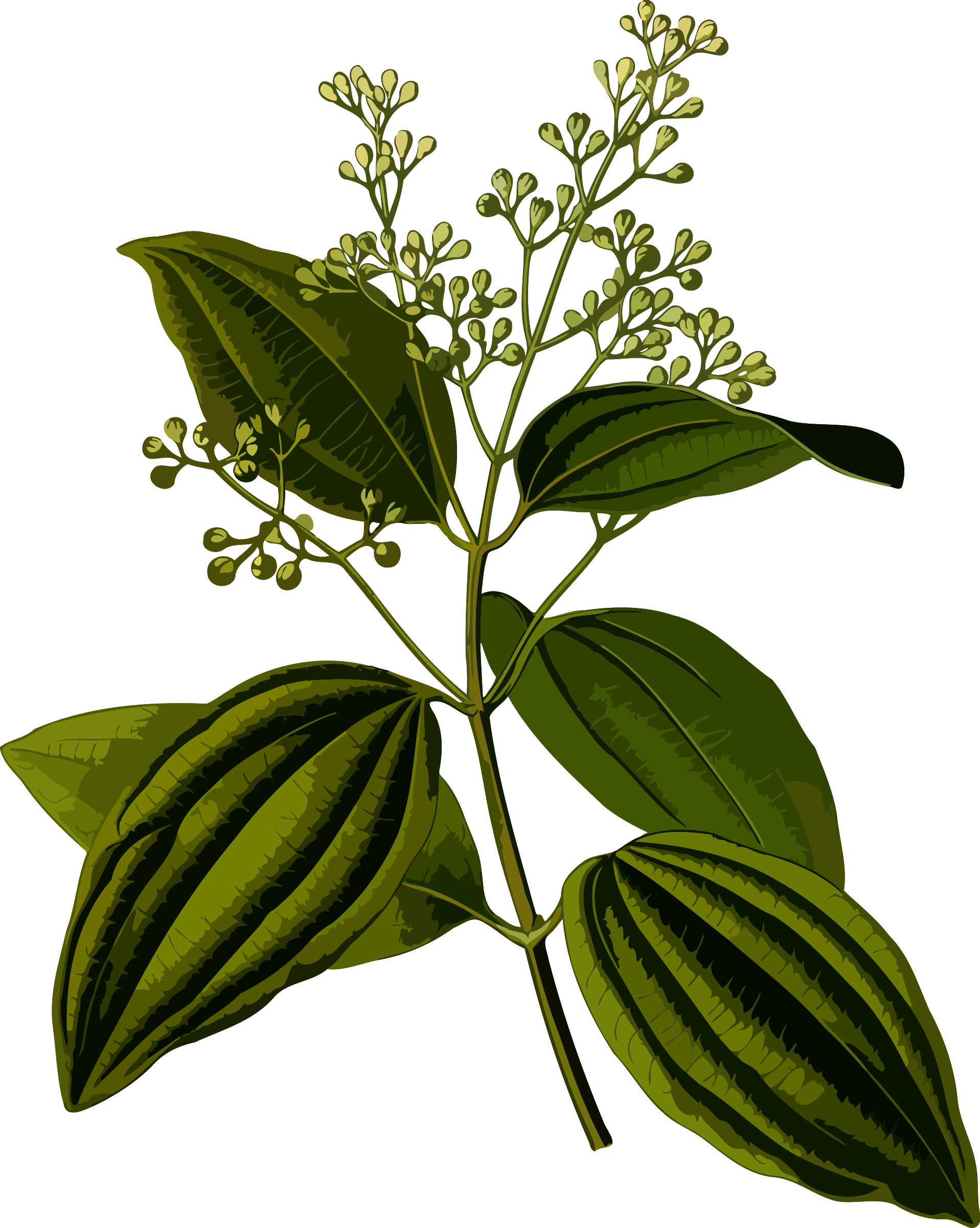 Ceylon cinnamon (smaller file) by Firkin