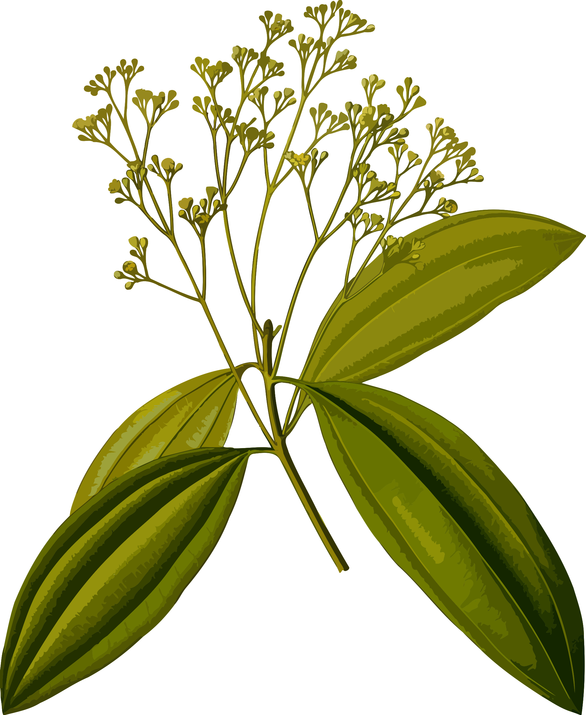 Chinese cinnamon (smaller file) by Firkin
