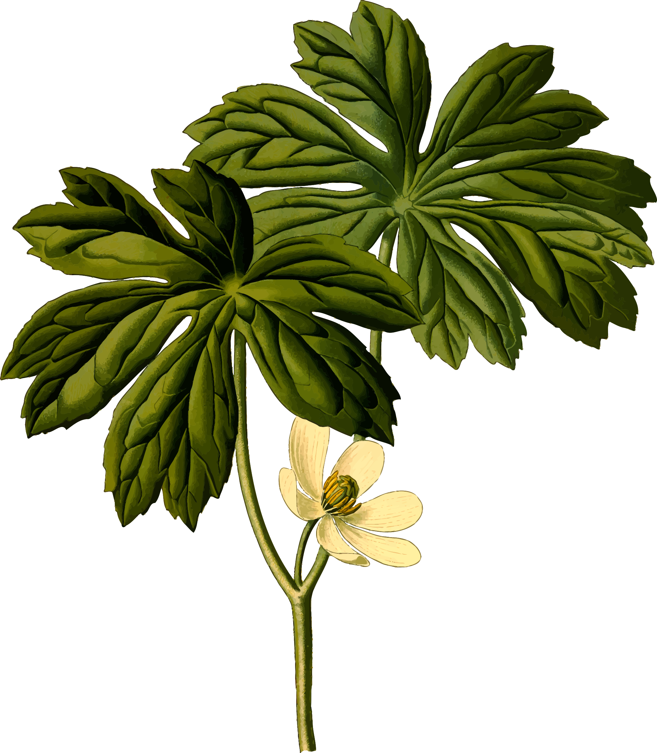 Mayapple (detailed) by Firkin