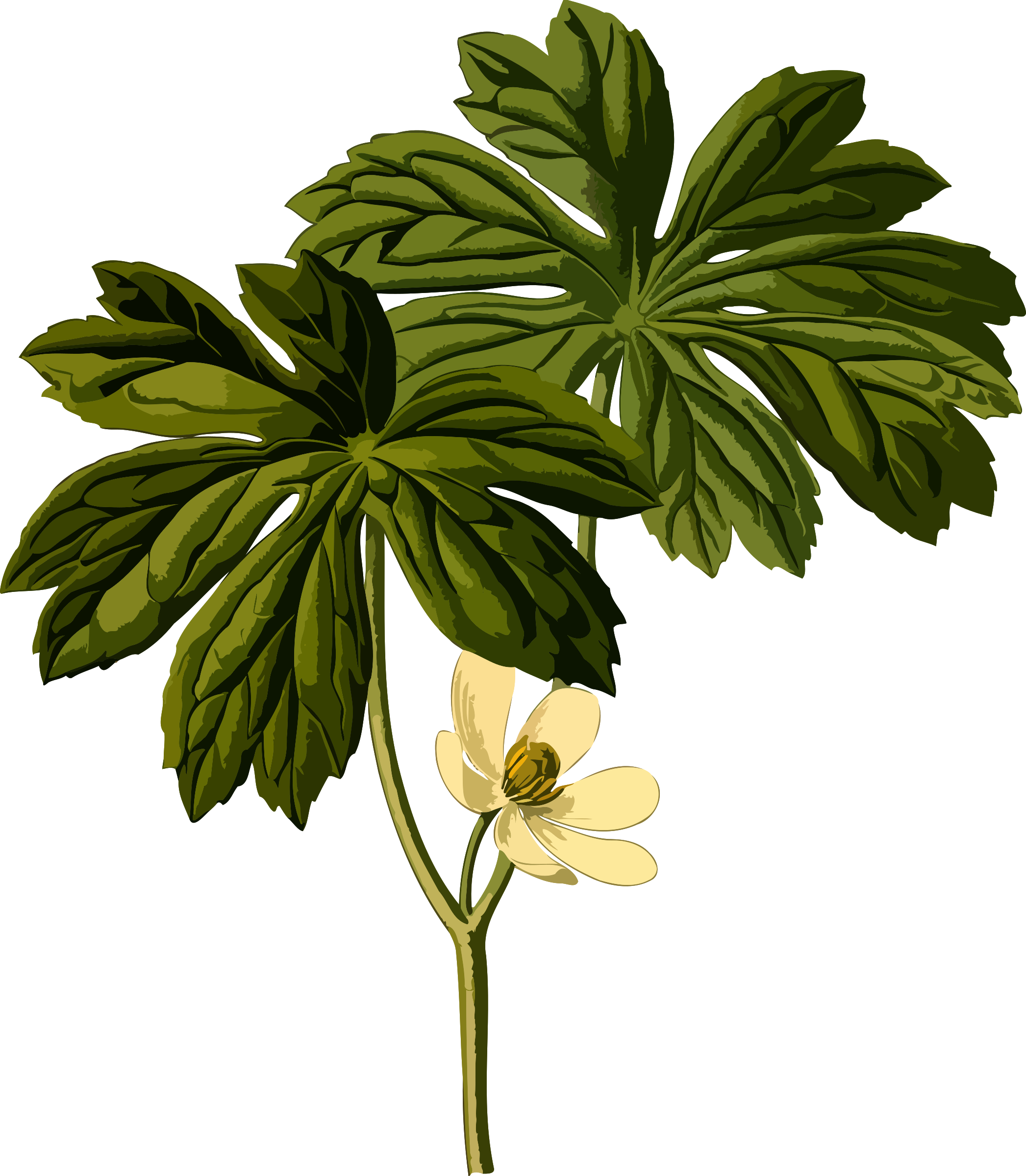 Mayapple (smaller file) by Firkin