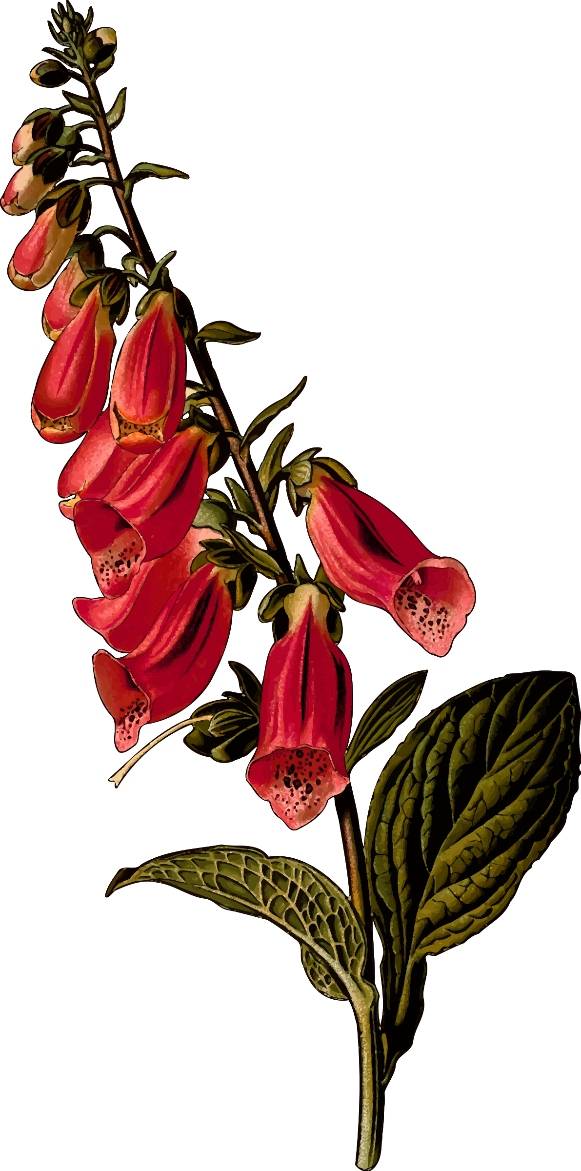 Foxglove (detailed) by Firkin