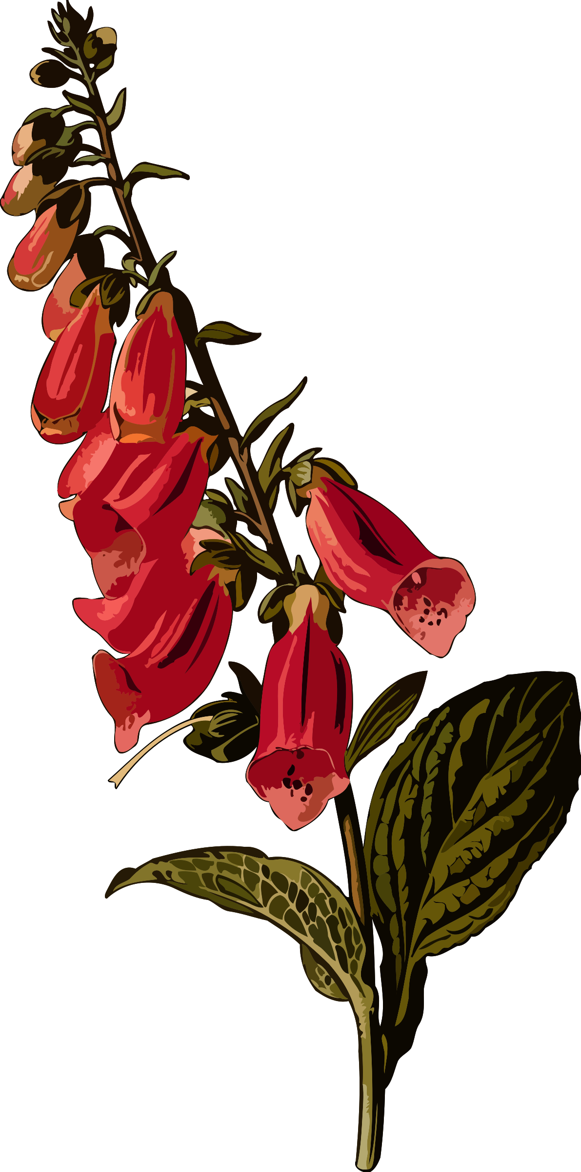 Foxglove (smaller file) by Firkin