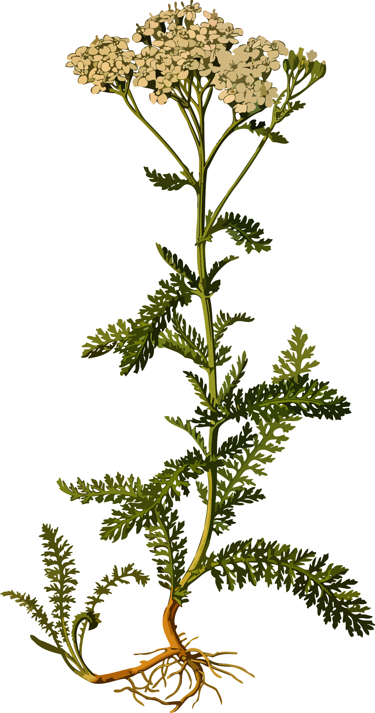 Clipart - Yarrow (smaller file)