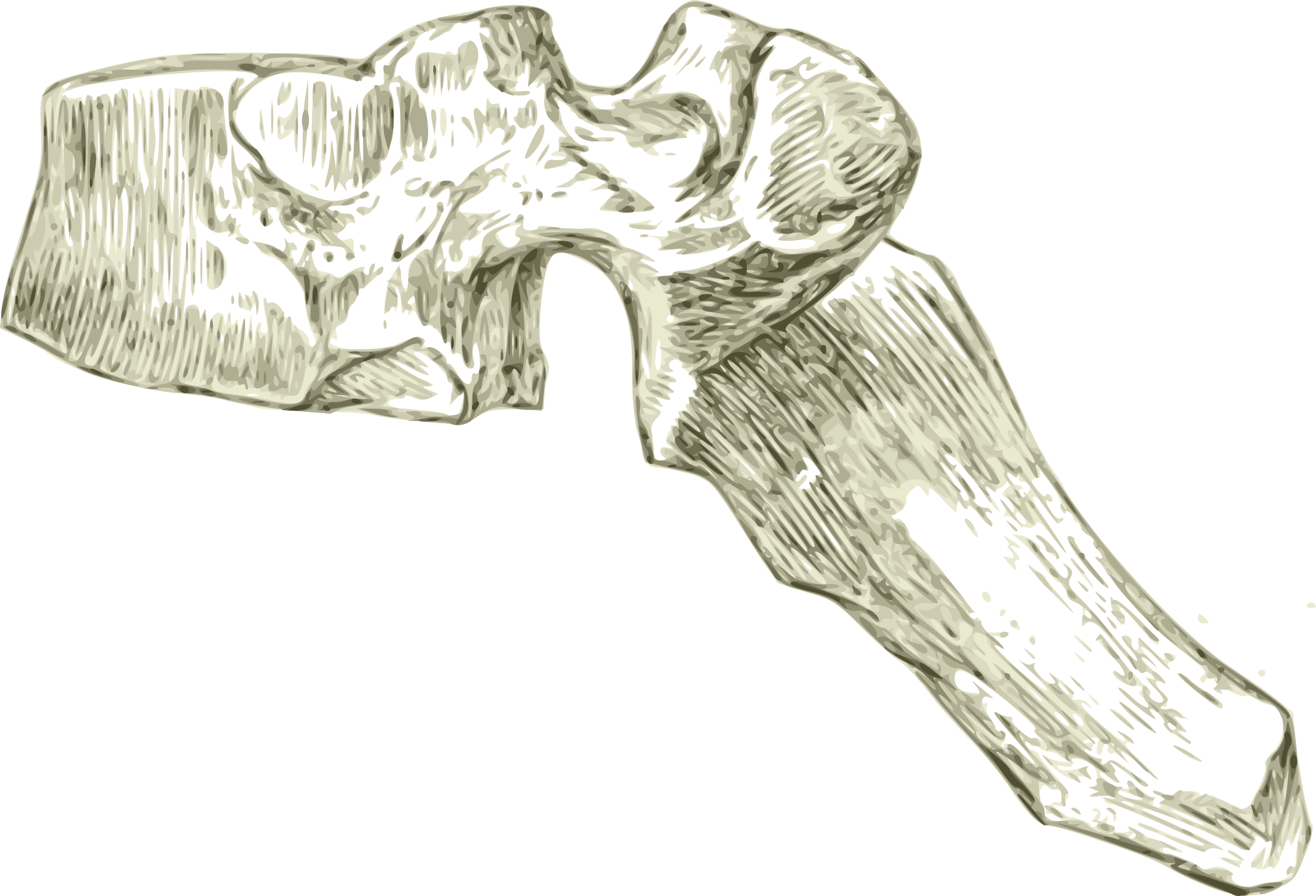 Clipart A Human Dorsal Or Thoracic Spine Or Vertebra