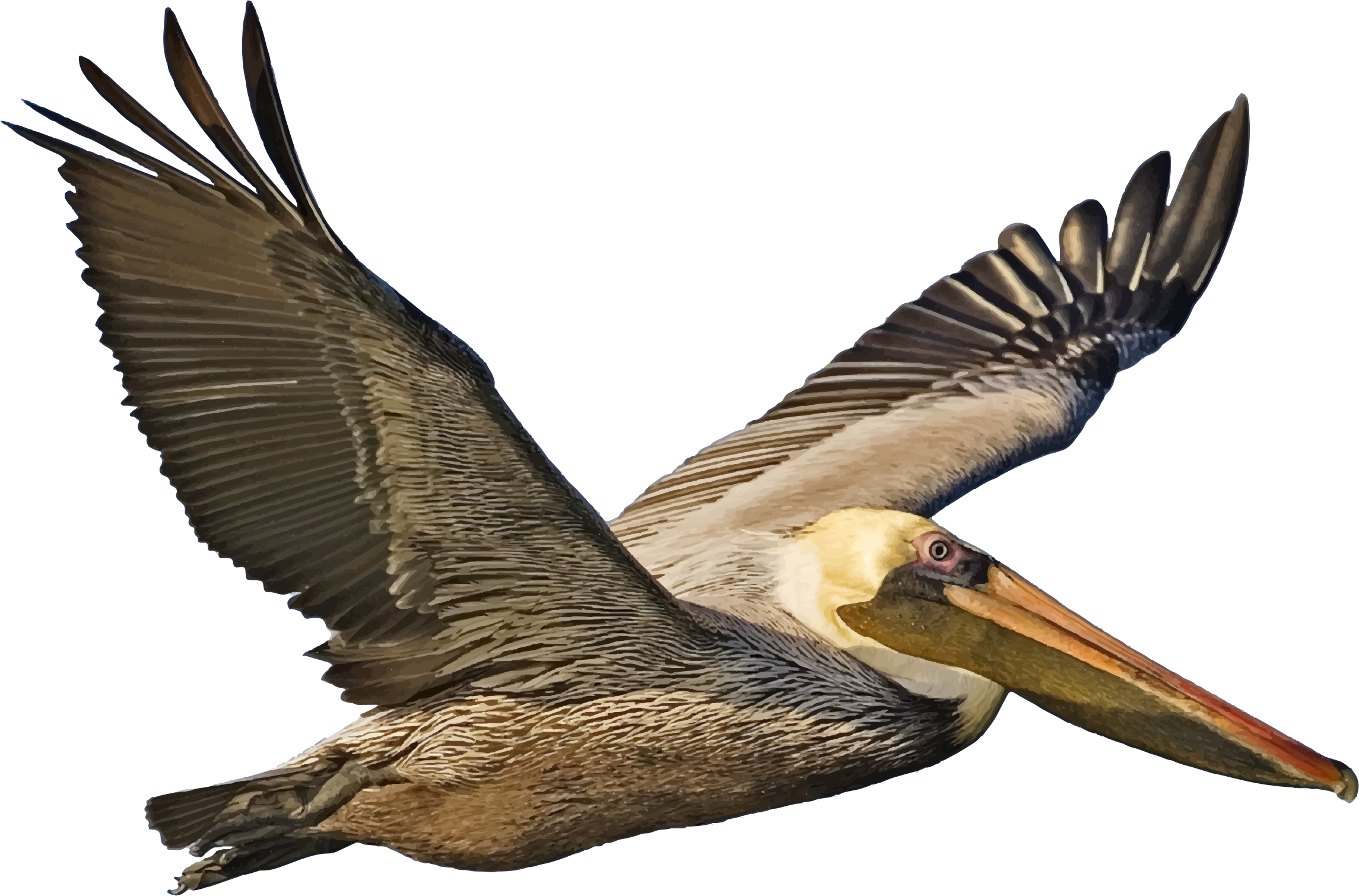 Brown Pelican In Flight by GDJ