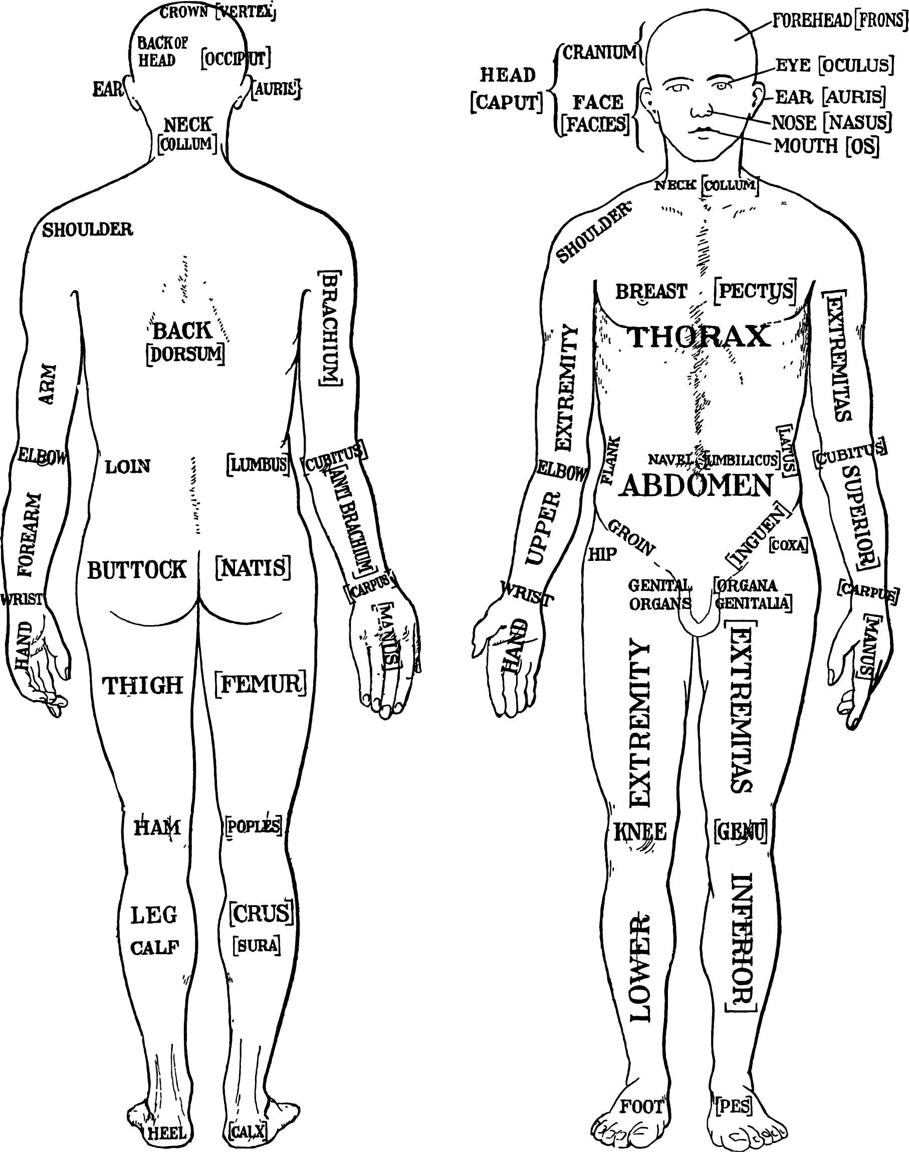 clipart morris human anatomy diagram 1933