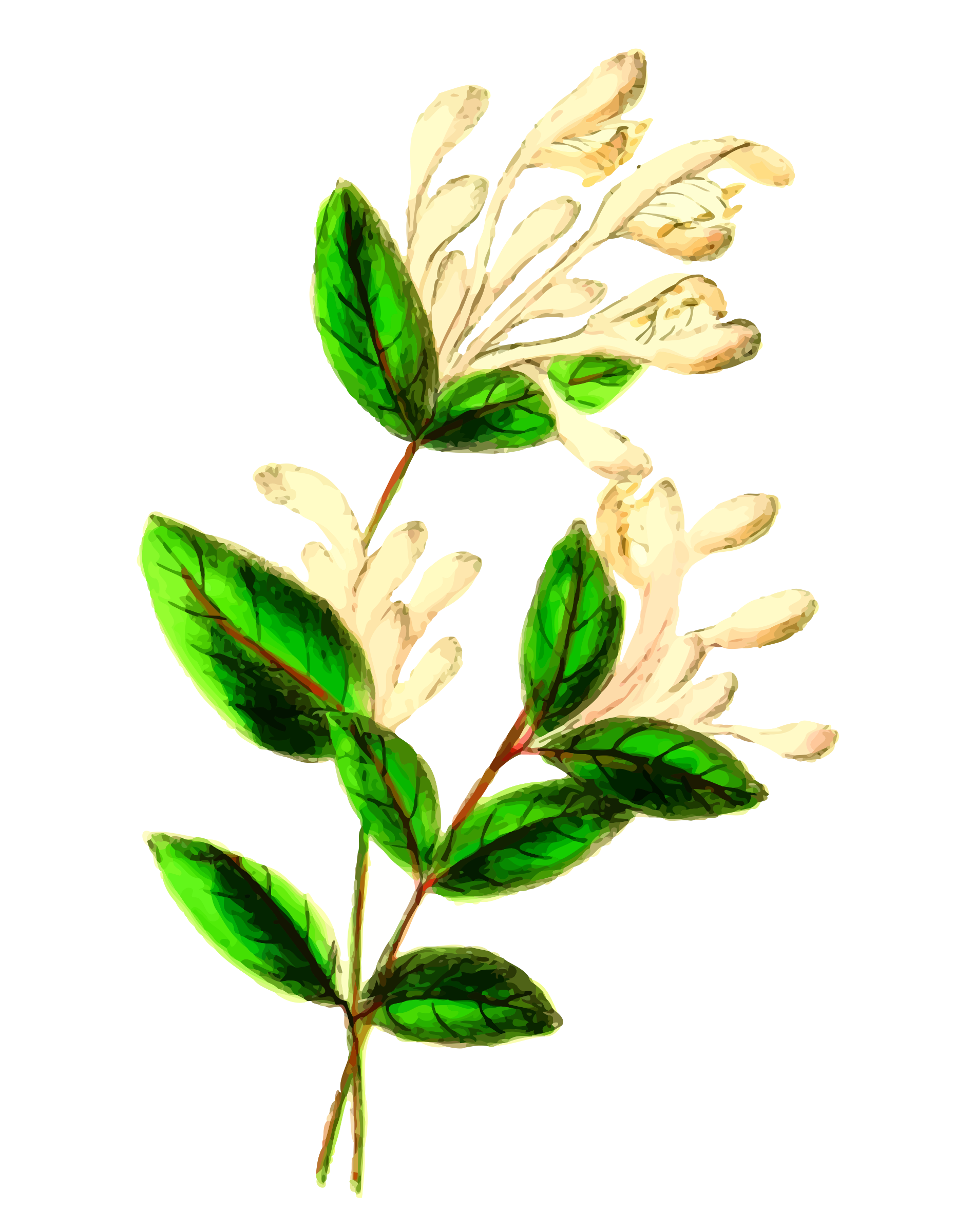 Honeysuckle by Firkin