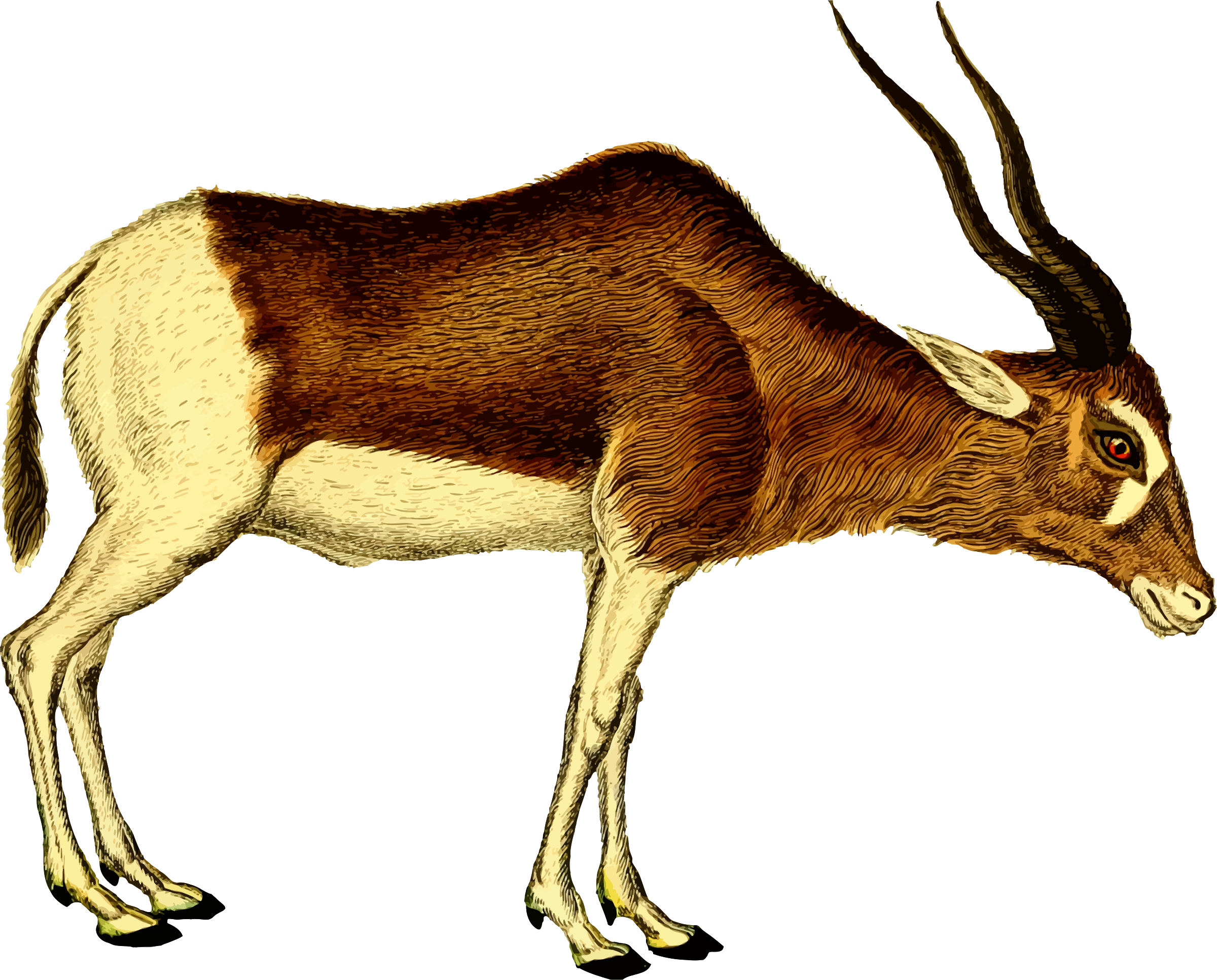 Antelope 2 (isolated) by Firkin