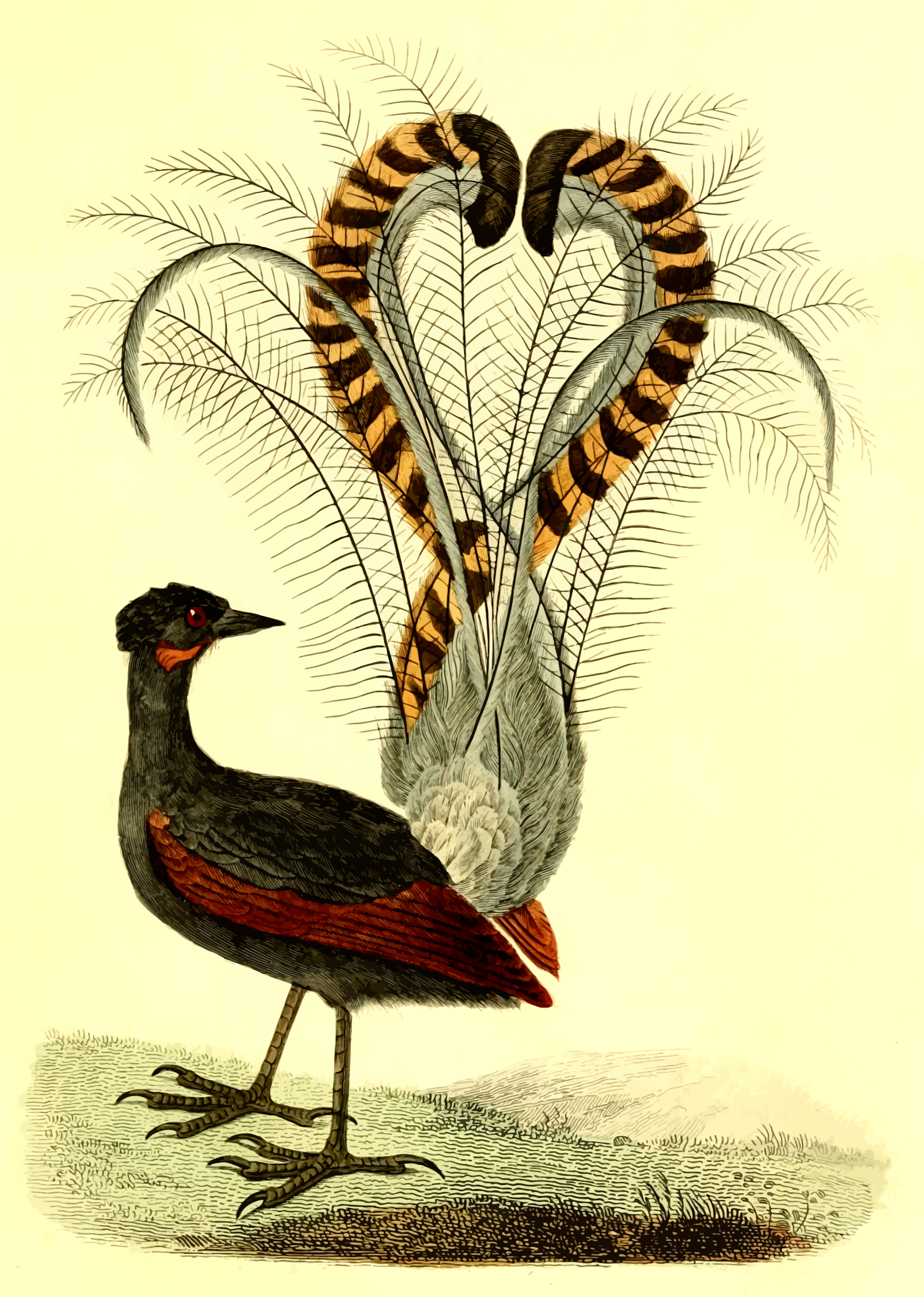 Lyrebird by Firkin